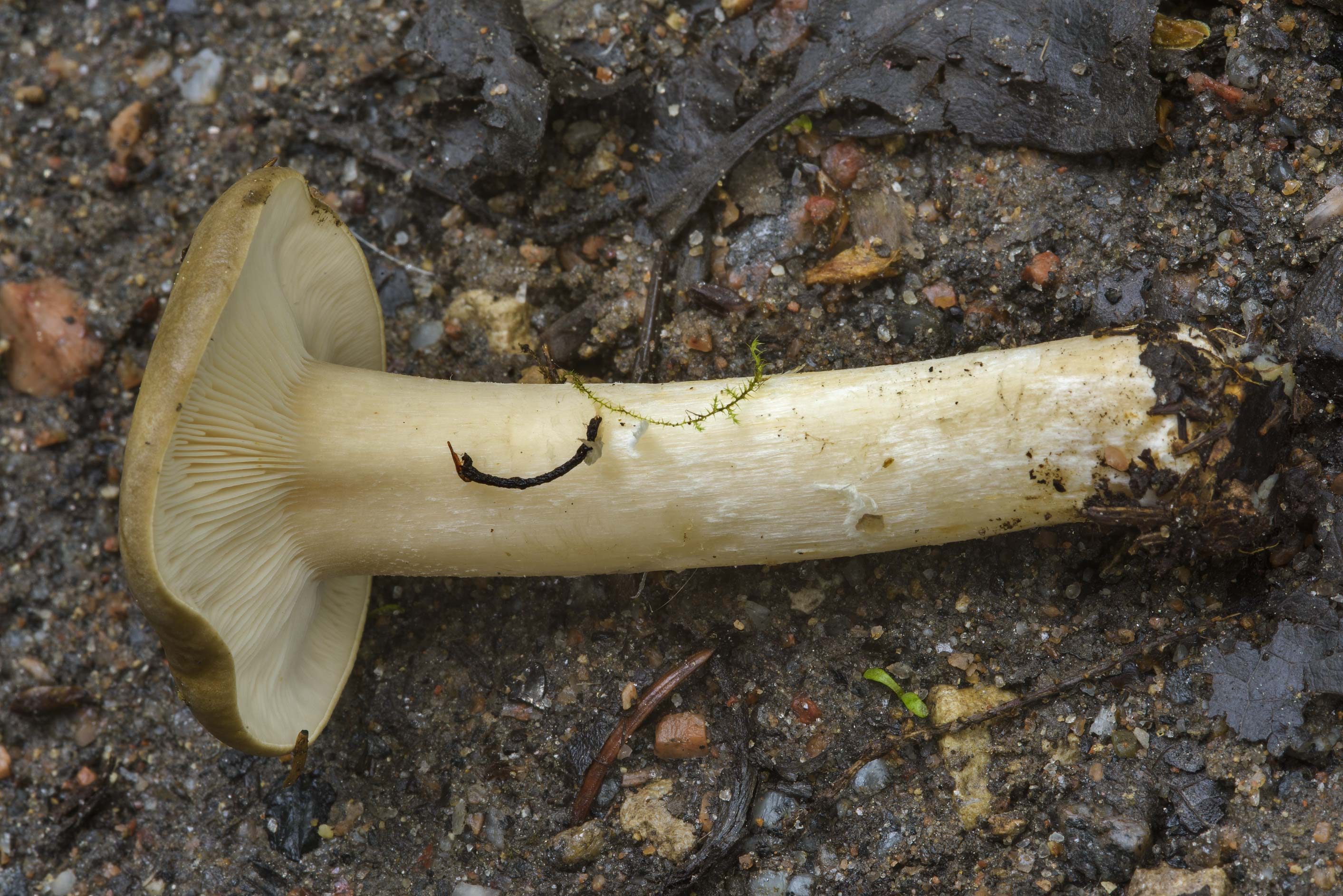 Some gilled mushroom on roadside near...suburb of St.Petersburg. Russia