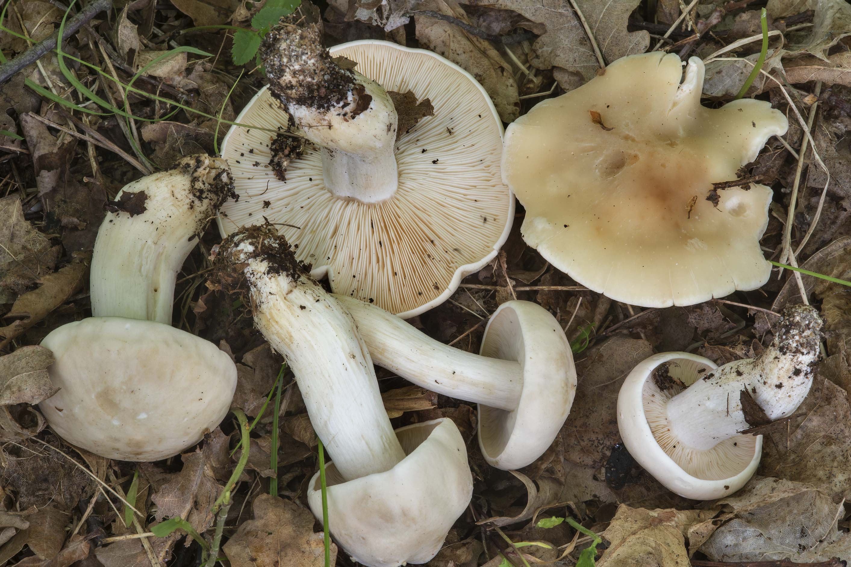 Group of St. George's mushrooms (Calocybe gambosa...Nos, west from St.Petersburg. Russia