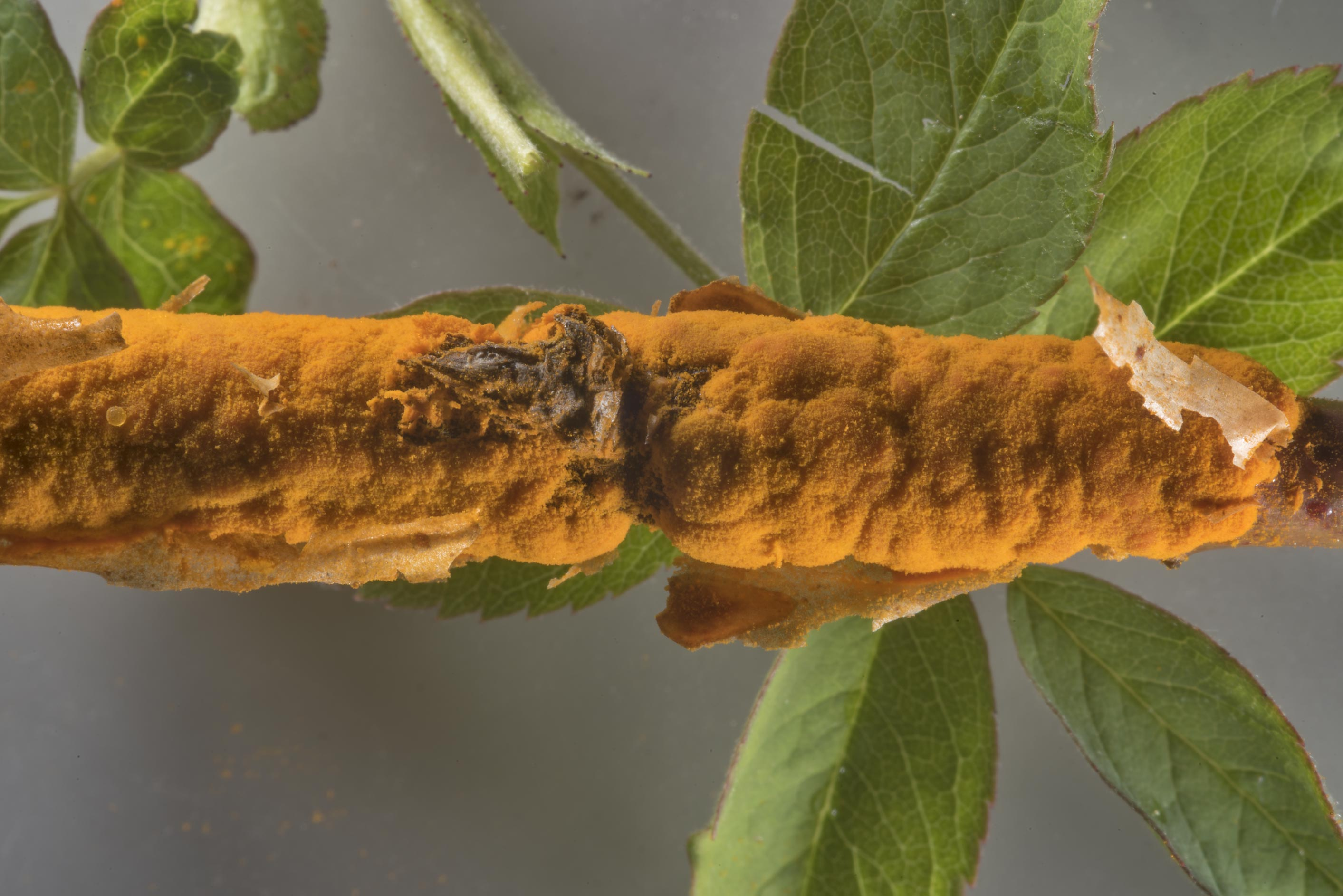 Rose rust (Phragmidium mucronatum) on a stem of...Nos, west from St.Petersburg. Russia