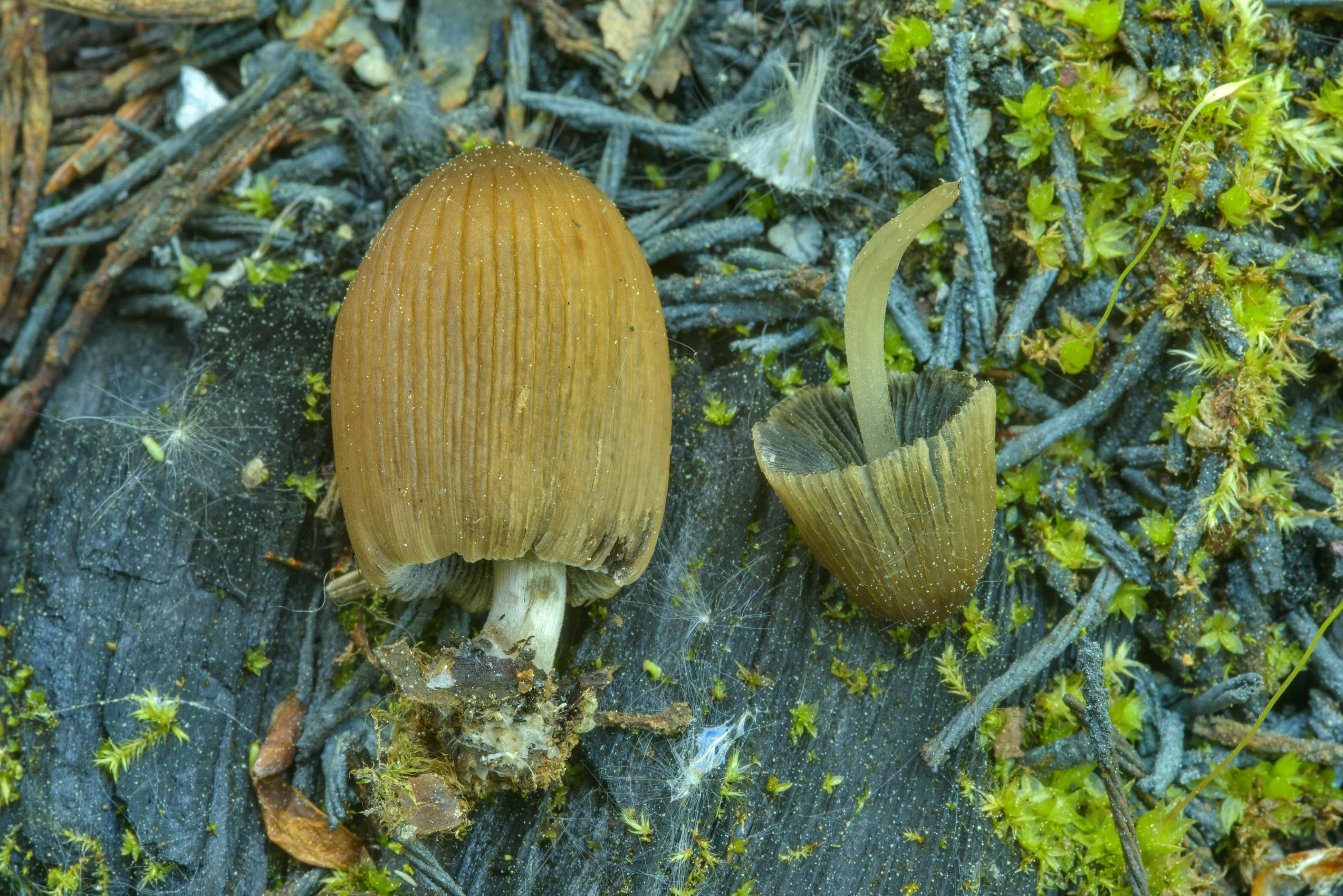 Inkcap mushroos Coprinellus angulatus on a site...north from St.Petersburg, Russia