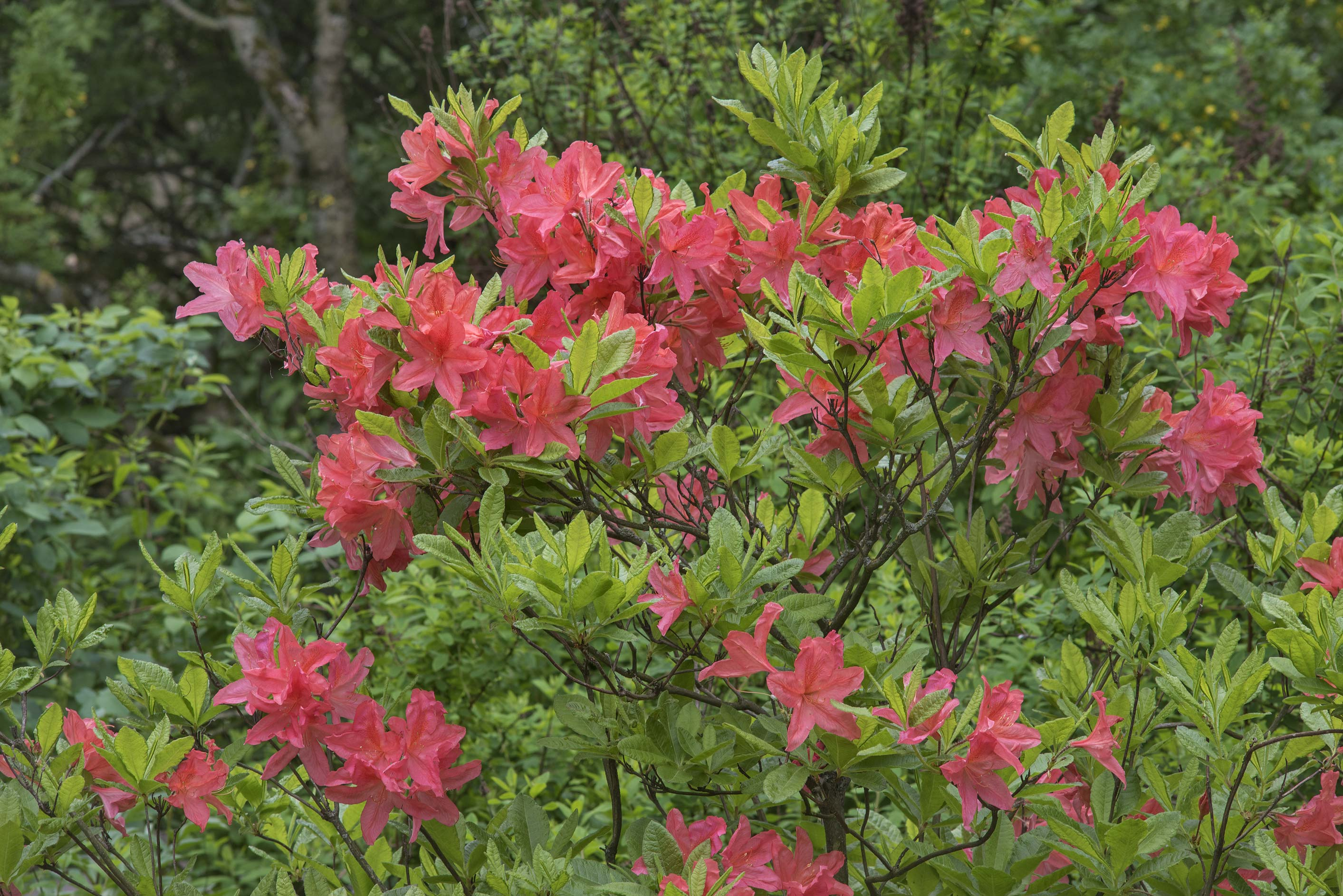 Red flowers of azalea (Rhododendron smirnovii) in...Institute. St.Petersburg, Russia
