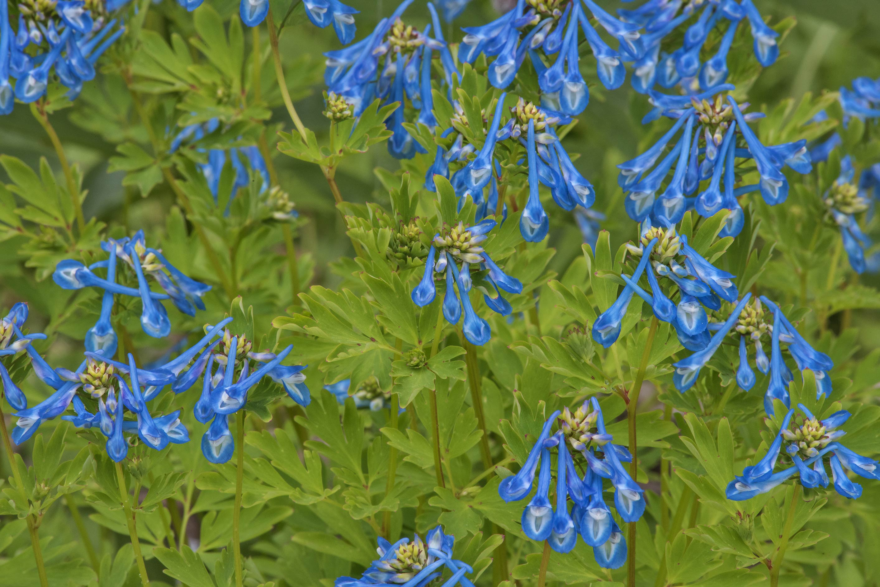 Blue flowers of fumewort (Corydalis) in Botanic...Institute. St.Petersburg, Russia