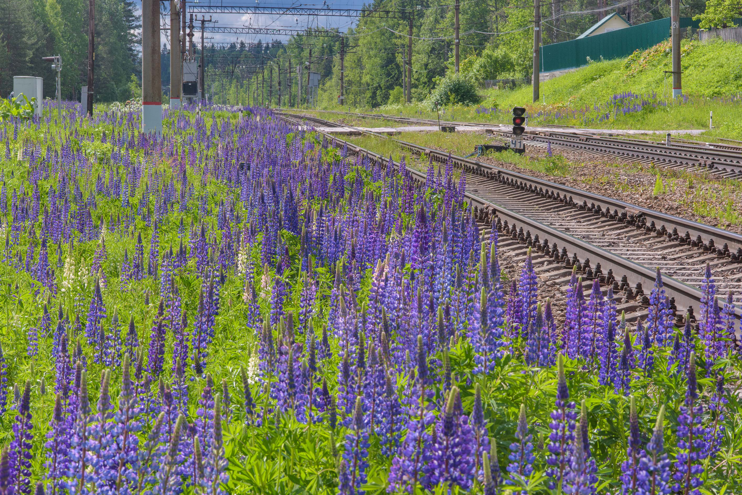 Blue lupin (Lupinus) on sandy soil near railroad...north from St.Petersburg. Russia