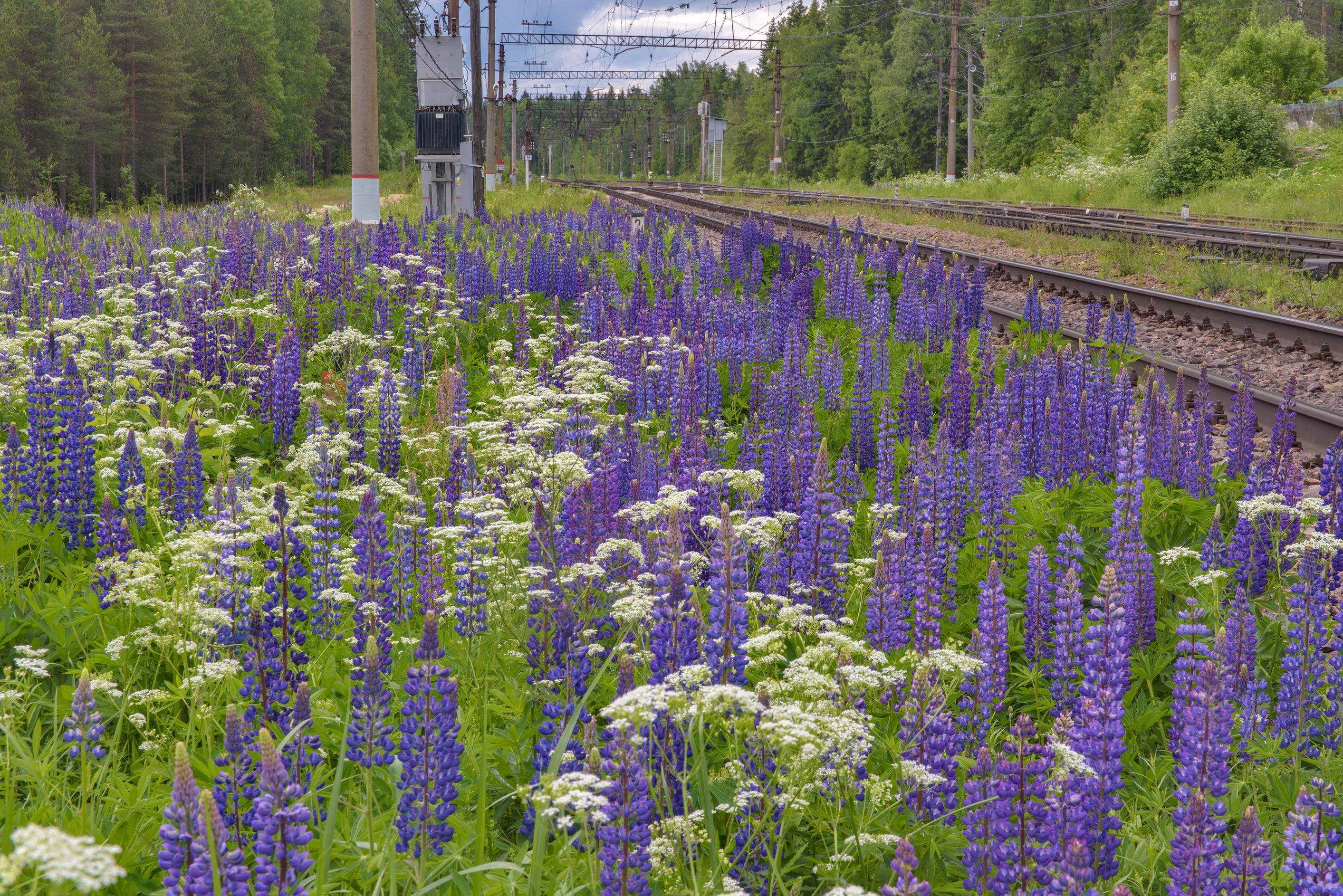 Blue lupin (Lupinus) in bloom near Orekhovo, north from St.Petersburg. Russia