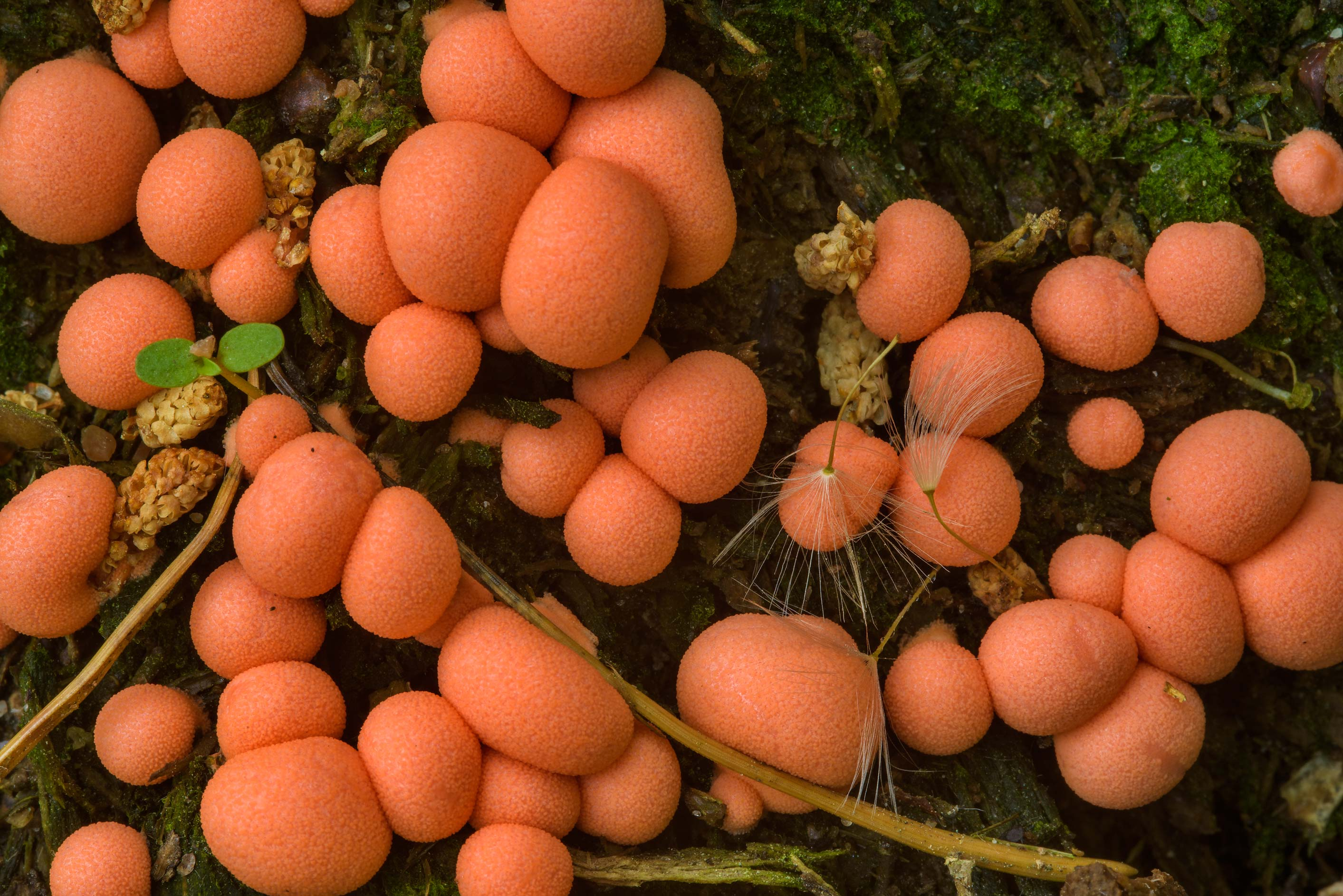 Wolf's milk slime mold (Lycogala epidendrum) on...Sosnovka Park. St.Petersburg, Russia