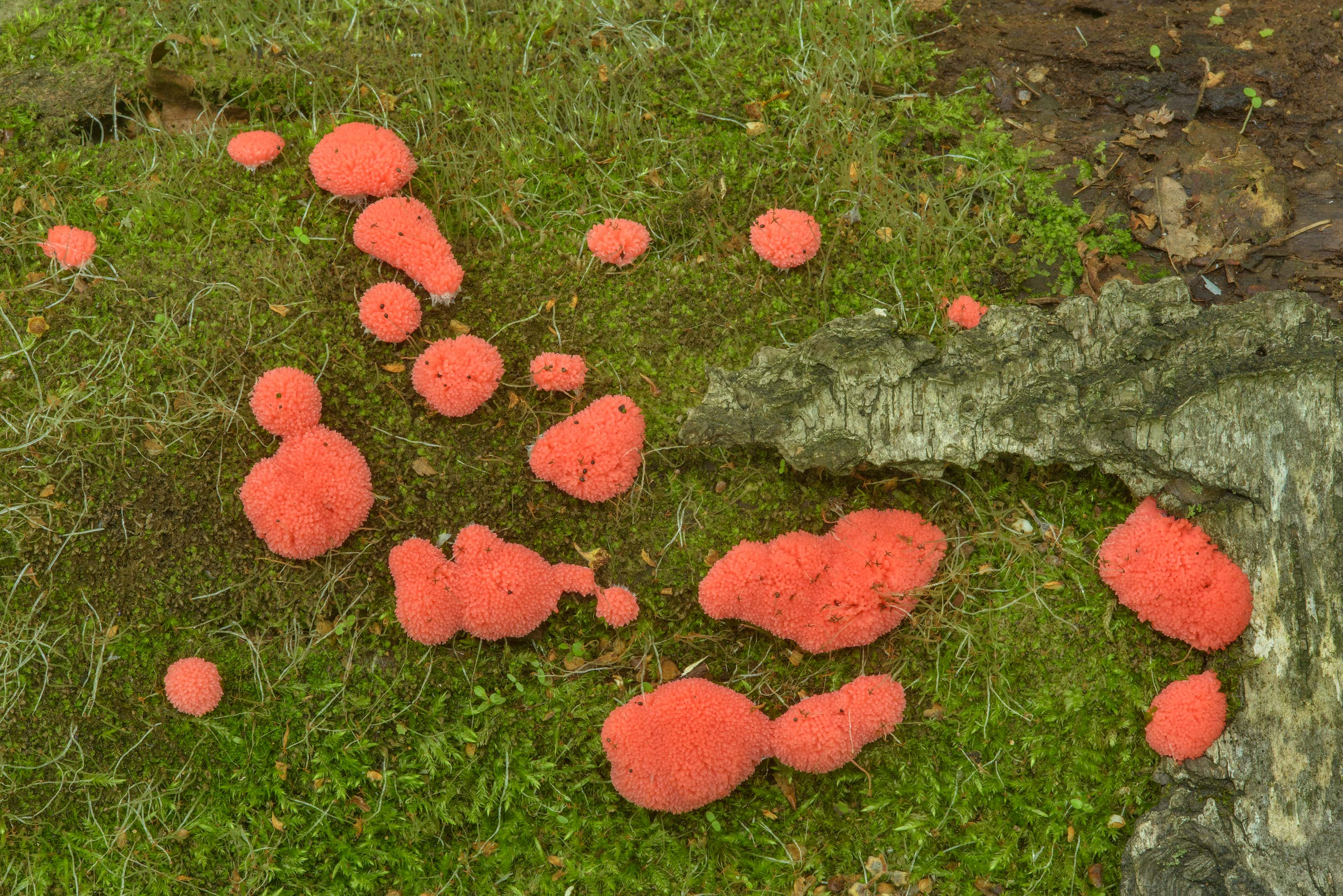 Patches of raspberry slime mold (Tubifera...Sosnovka Park. St.Petersburg, Russia