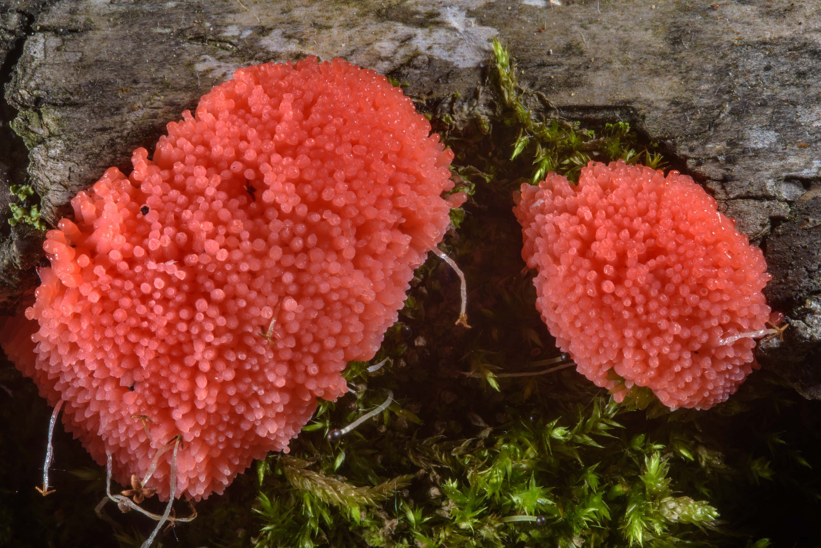 Two clumps of raspberry slime mold (Tubifera...Sosnovka Park. St.Petersburg, Russia
