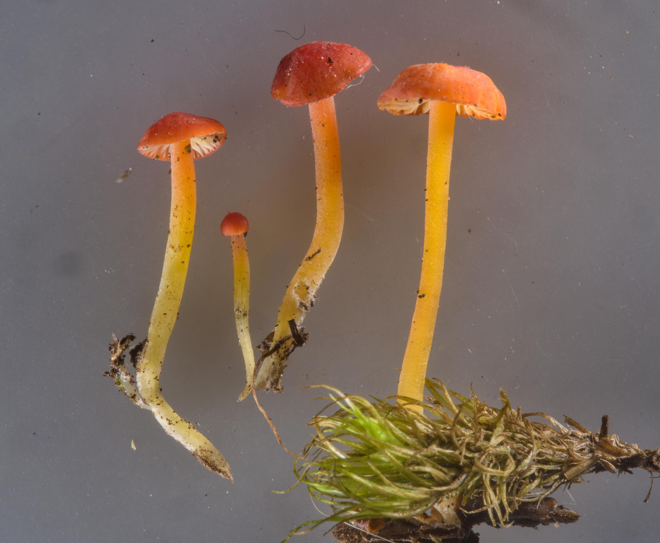 Orange bonnet mushrooms (Mycena acicula) taken from Sosnovka Park. St.Petersburg, Russia