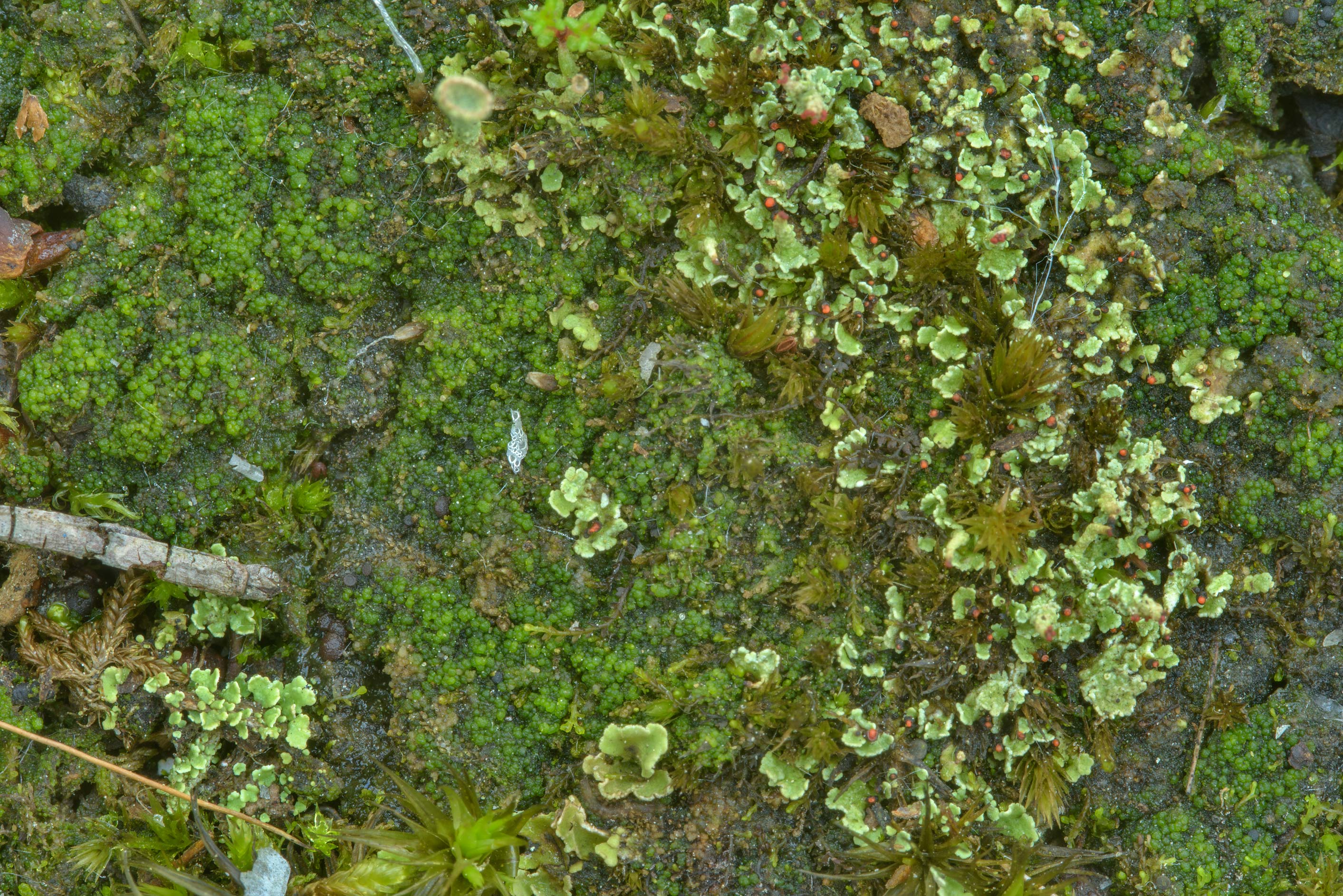 Various lichen and algae on peat soil in Sosnovka Park. St.Petersburg, Russia