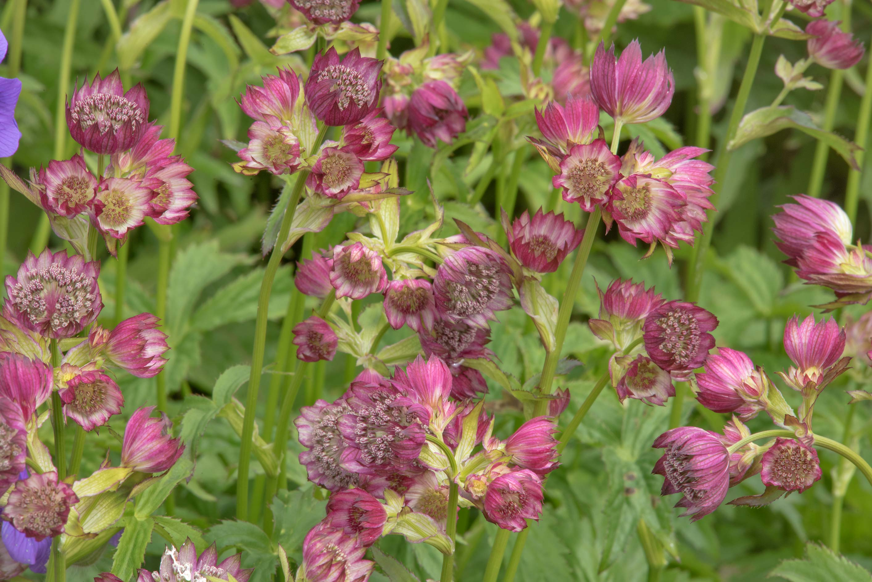 Masterwort (Astrantia major) in Botanic Gardens...Institute. St.Petersburg, Russia