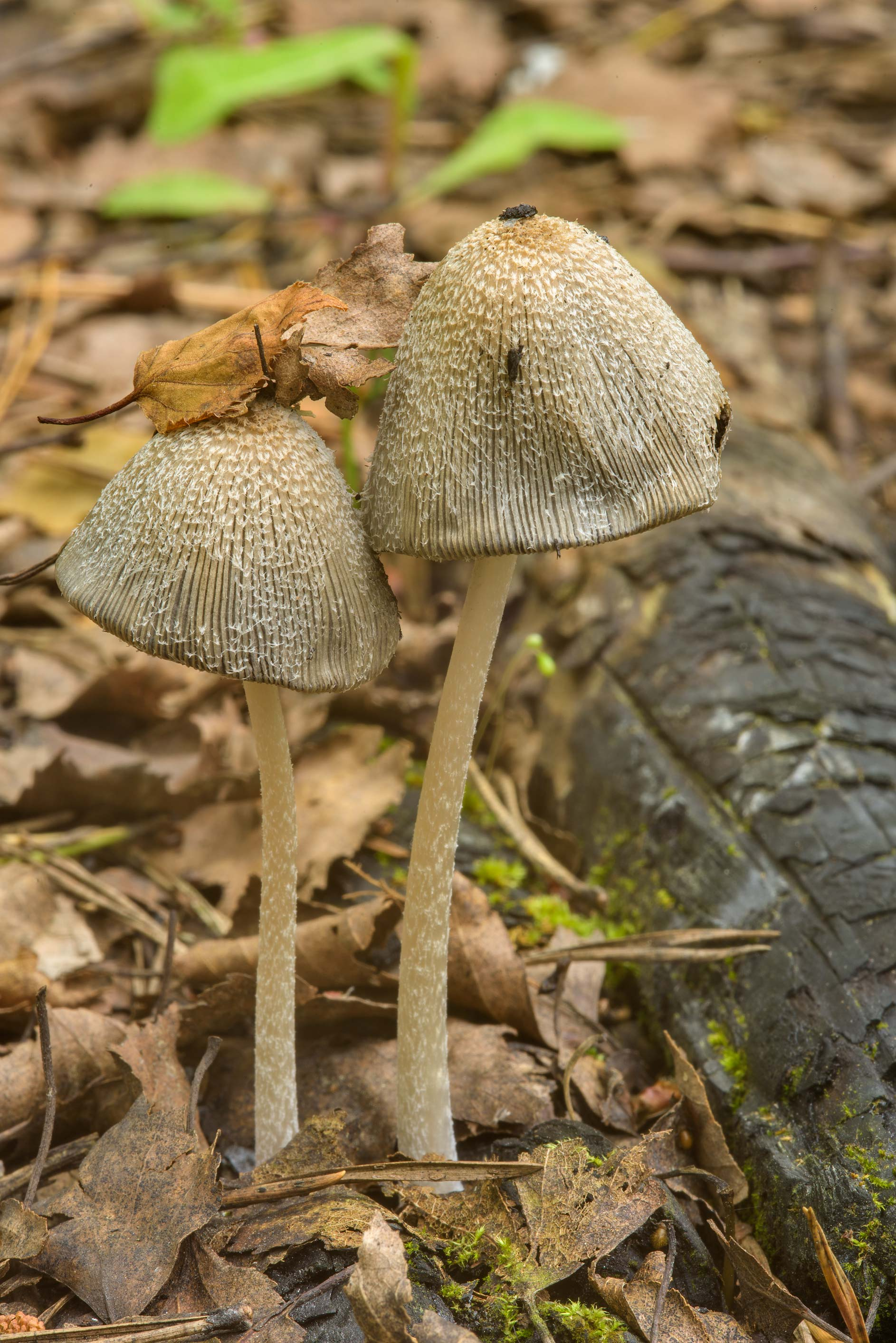 Inkcap mushroom Coprinopsis lagopides on an old...Sosnovka Park. St.Petersburg, Russia