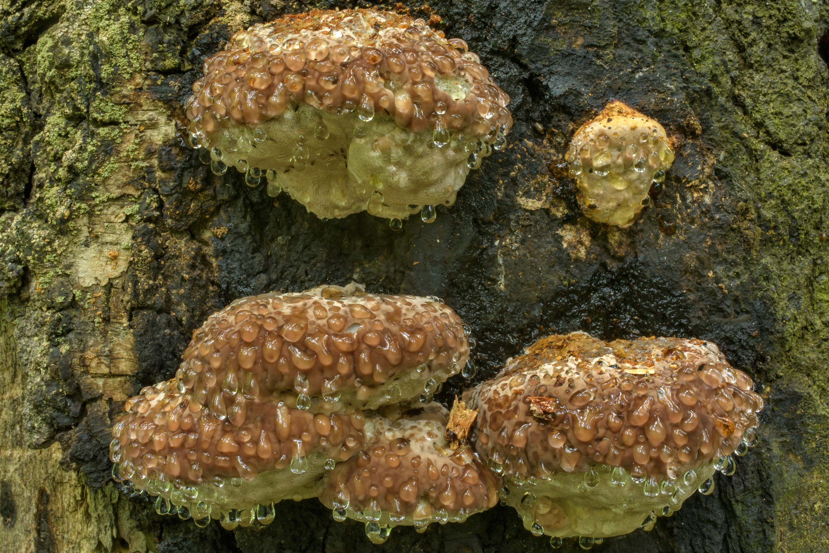 Guttation of bracket fungus Red-Belt Conk...Park. St.Petersburg, Russia