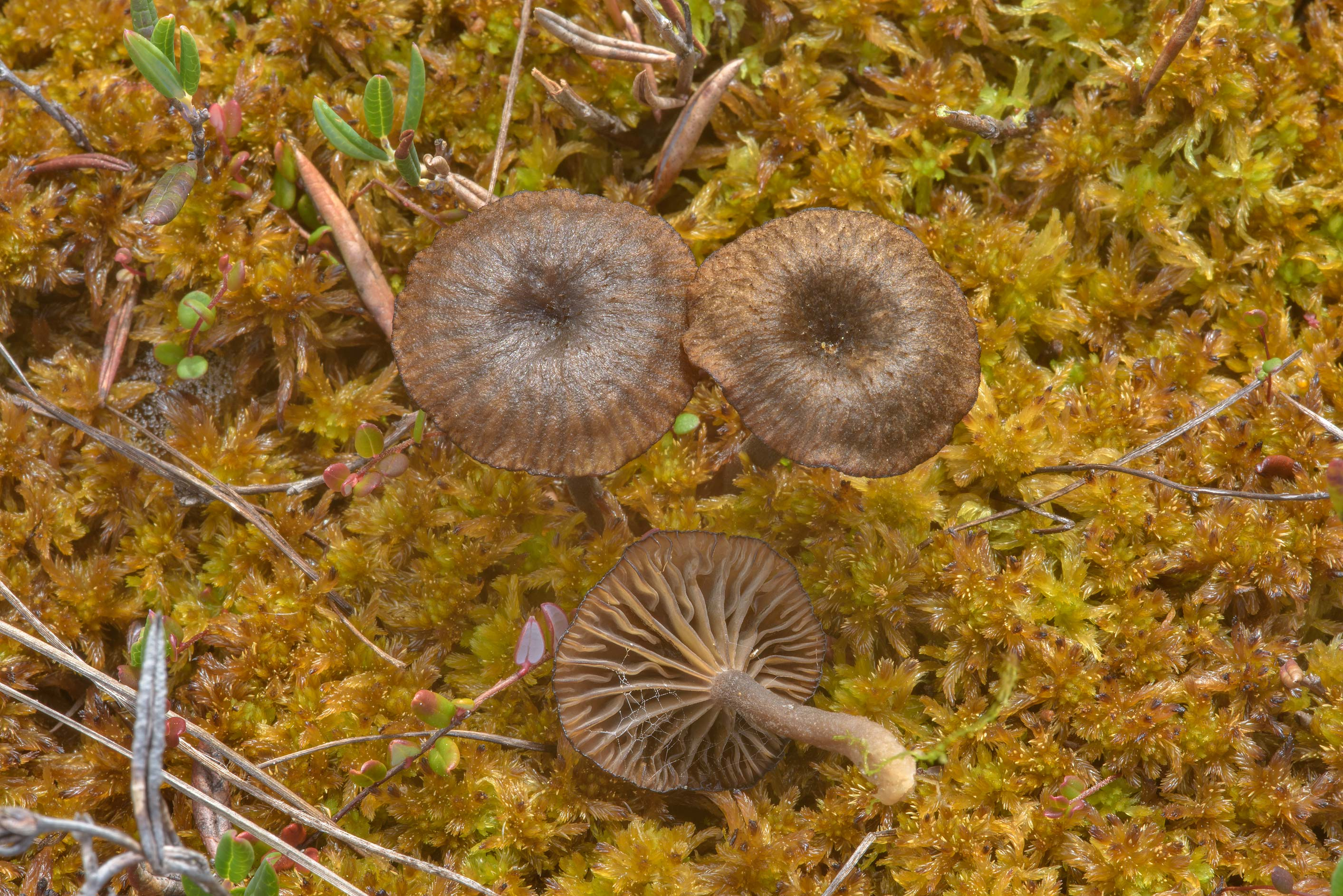 Small omphaloid mushrooms Arrhenia sphagnicola in...Zelenogorsk near St.Petersburg, Russia