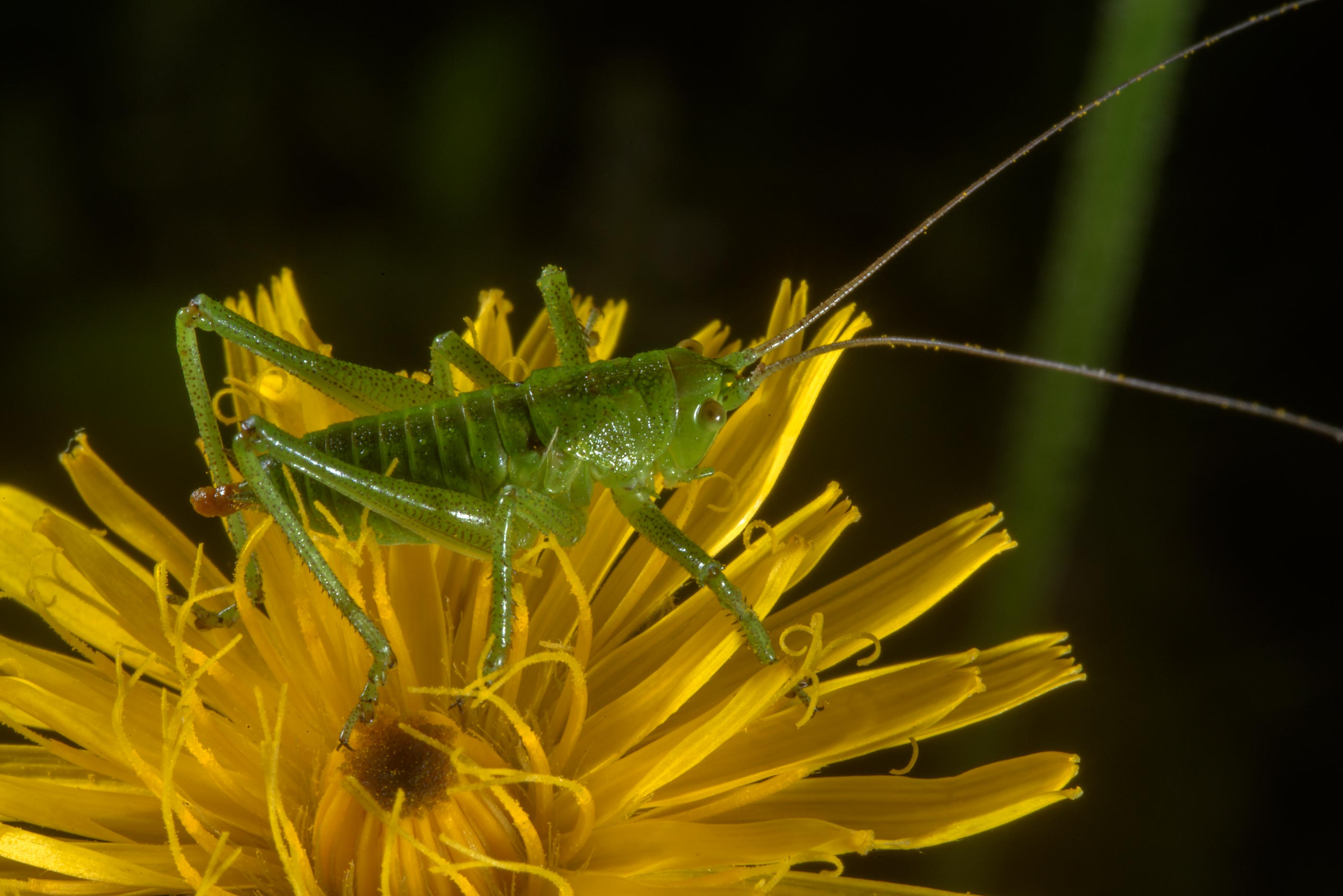 Green grasshopper on a flower of aster family in...south from St.Petersburg, Russia