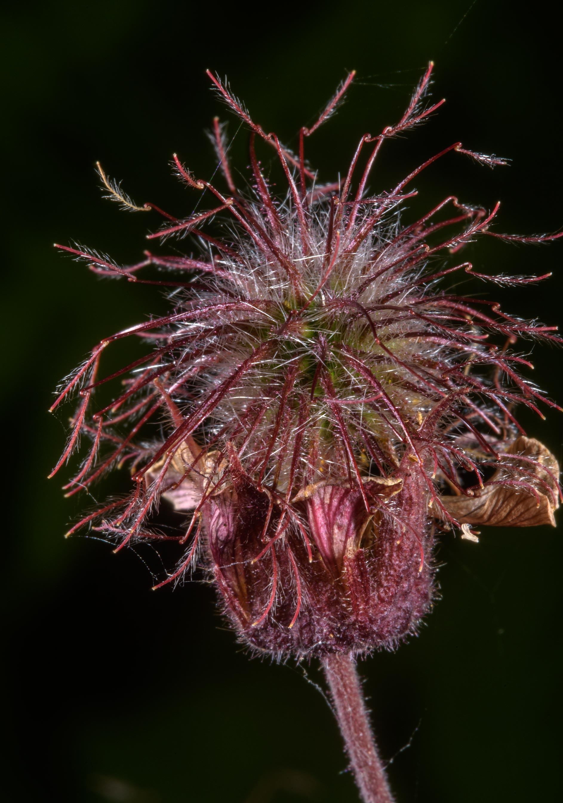 Water Avens (Geum rivale, Russian name Gravilat...south from St.Petersburg, Russia