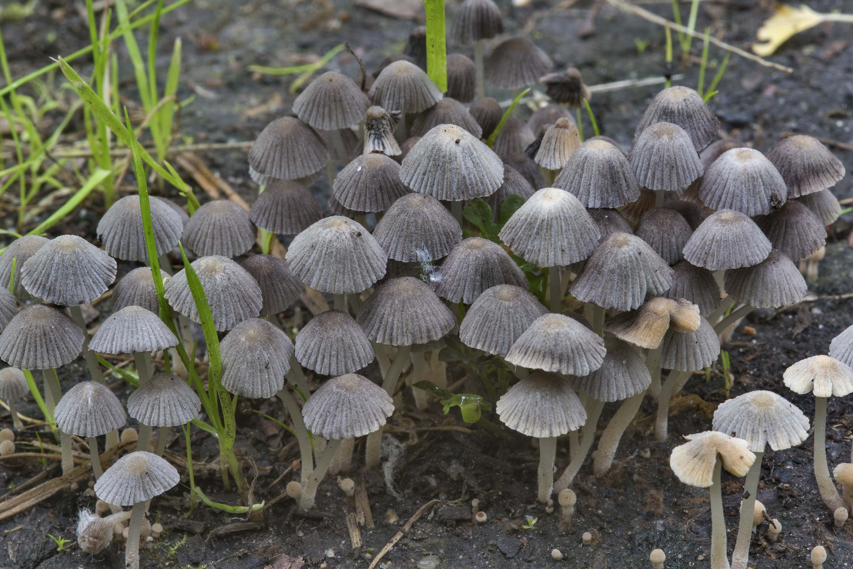 Masses of fairy inkcap mushrooms (Coprinellus...Sosnovka Park. St.Petersburg, Russia
