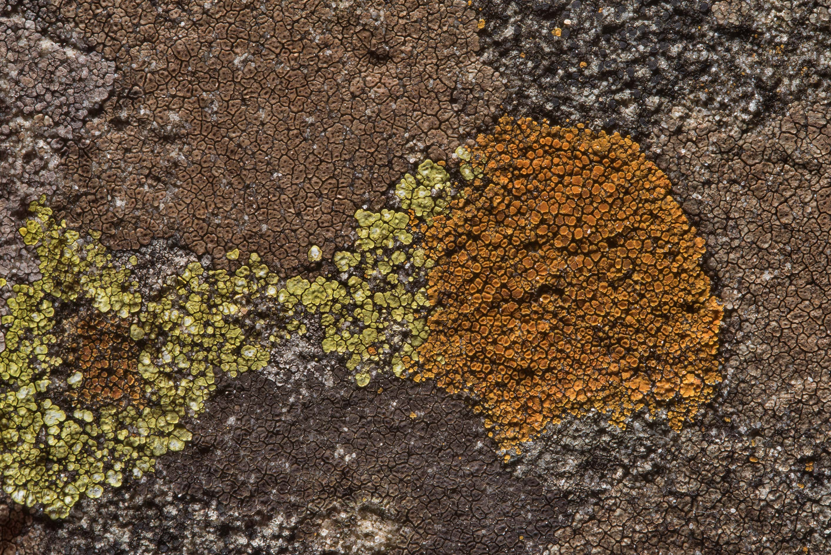 Firedot lichen Caloplaca crenulatella (orange...Pen Creek Park. College Station, Texas