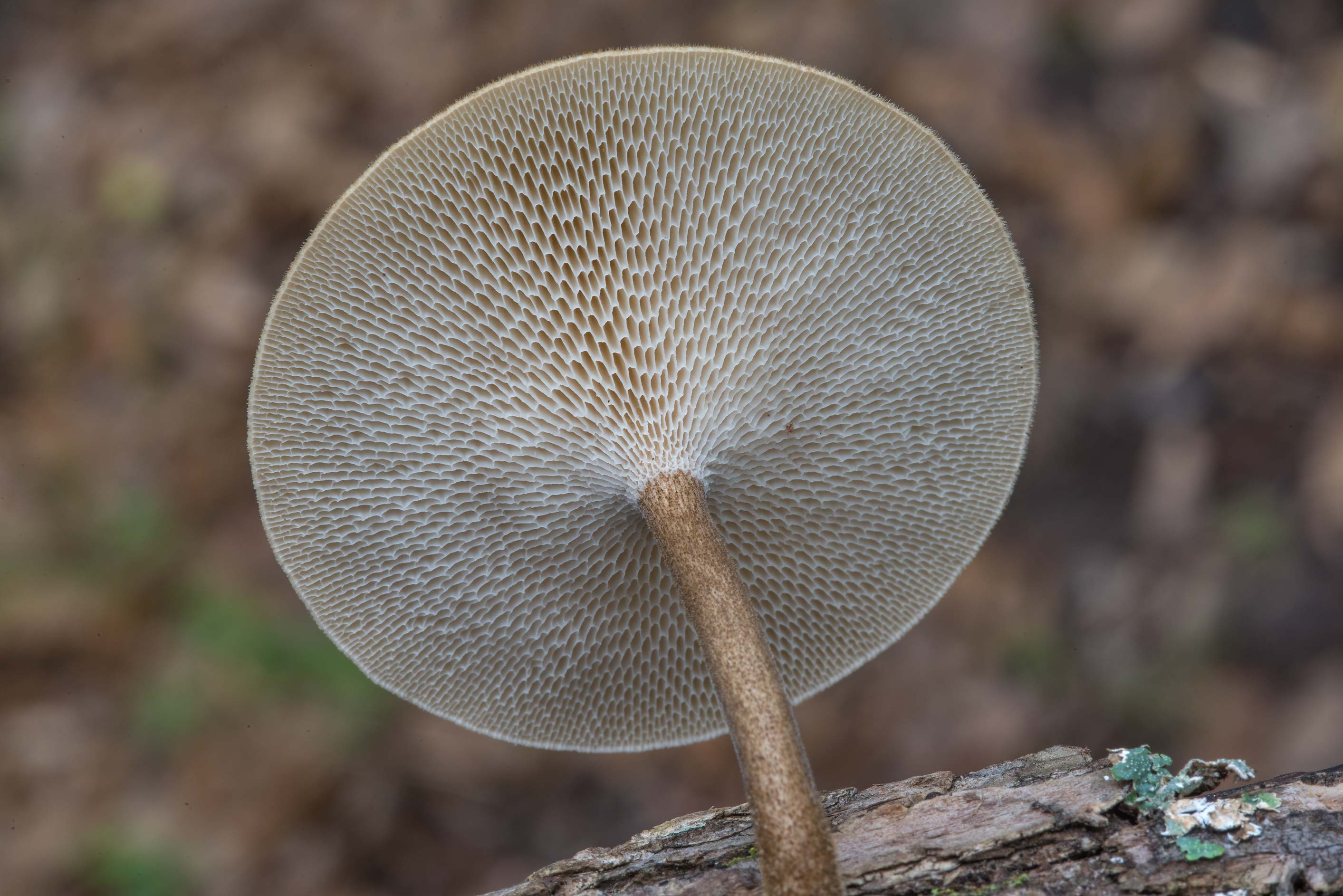 Gills of Polyporus arcularius (Lentinus...Nature Trail. College Station, Texas