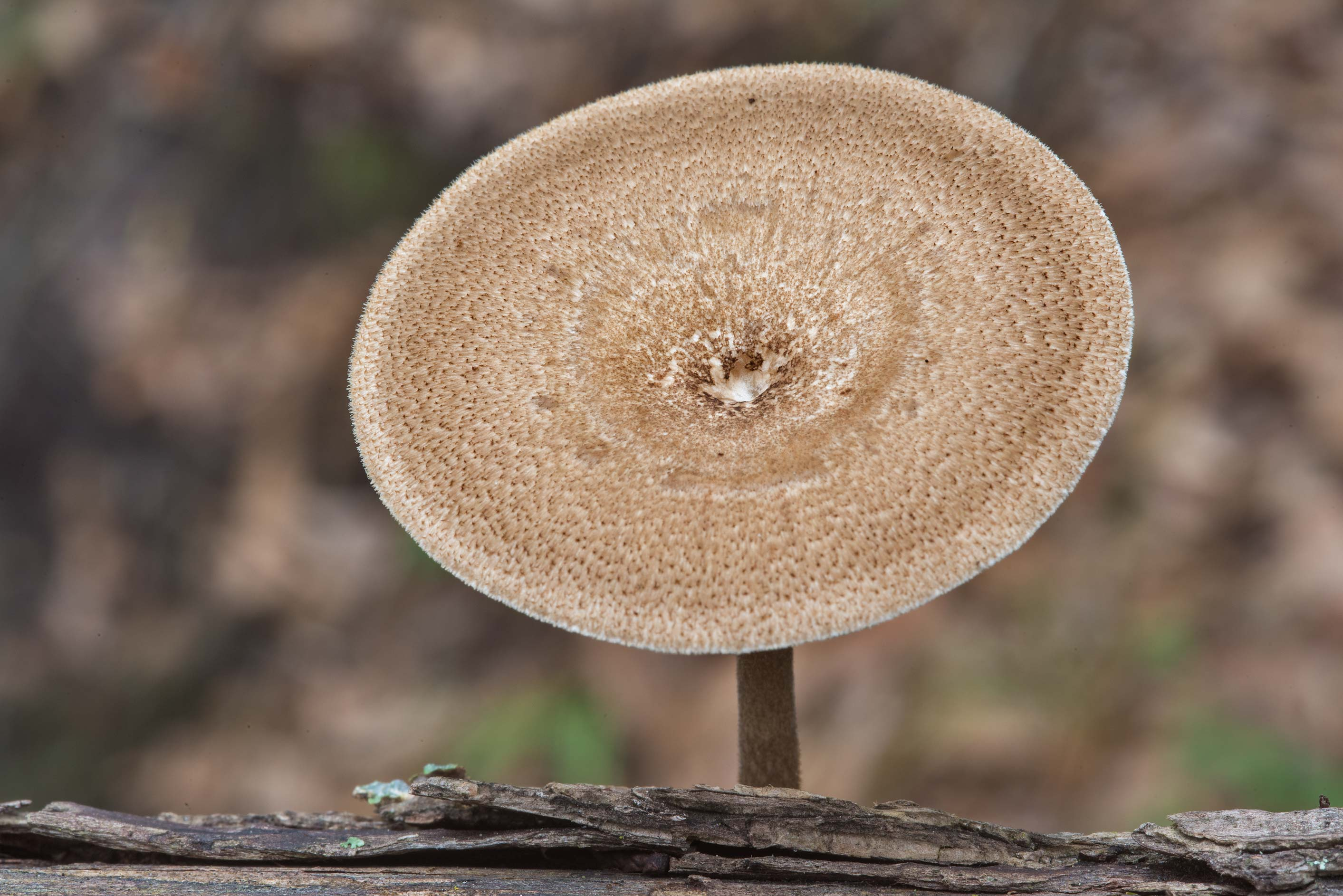 Cap of Polyporus arcularius (Lentinus arcularius...Nature Trail. College Station, Texas