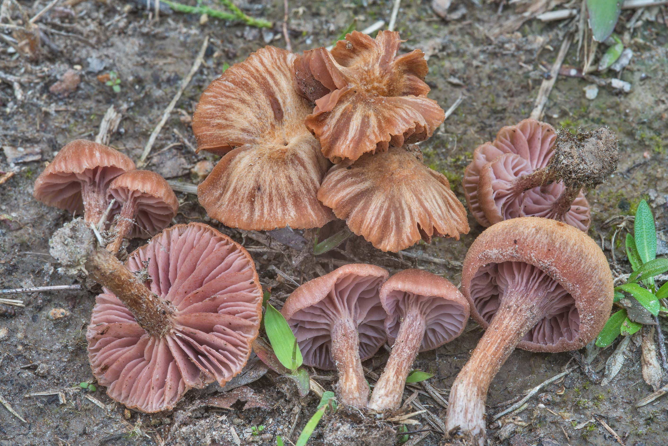 Bicoloured deceiver mushrooms (Laccaria bicolor...Ashburn St.. College Station, Texas