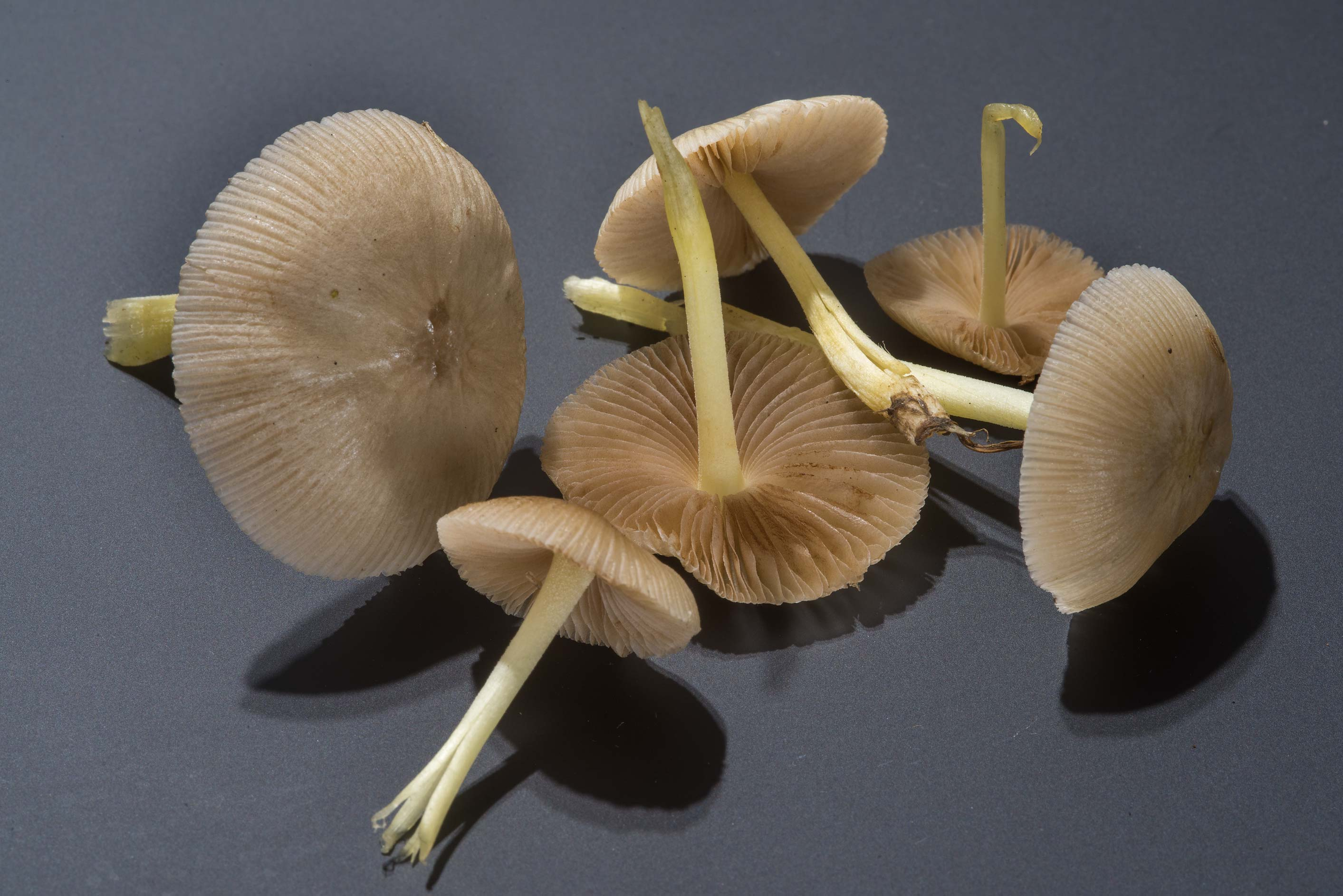 Bolbitius aleuriatus mushrooms taken from the...at Texas Ave.. College Station, Texas