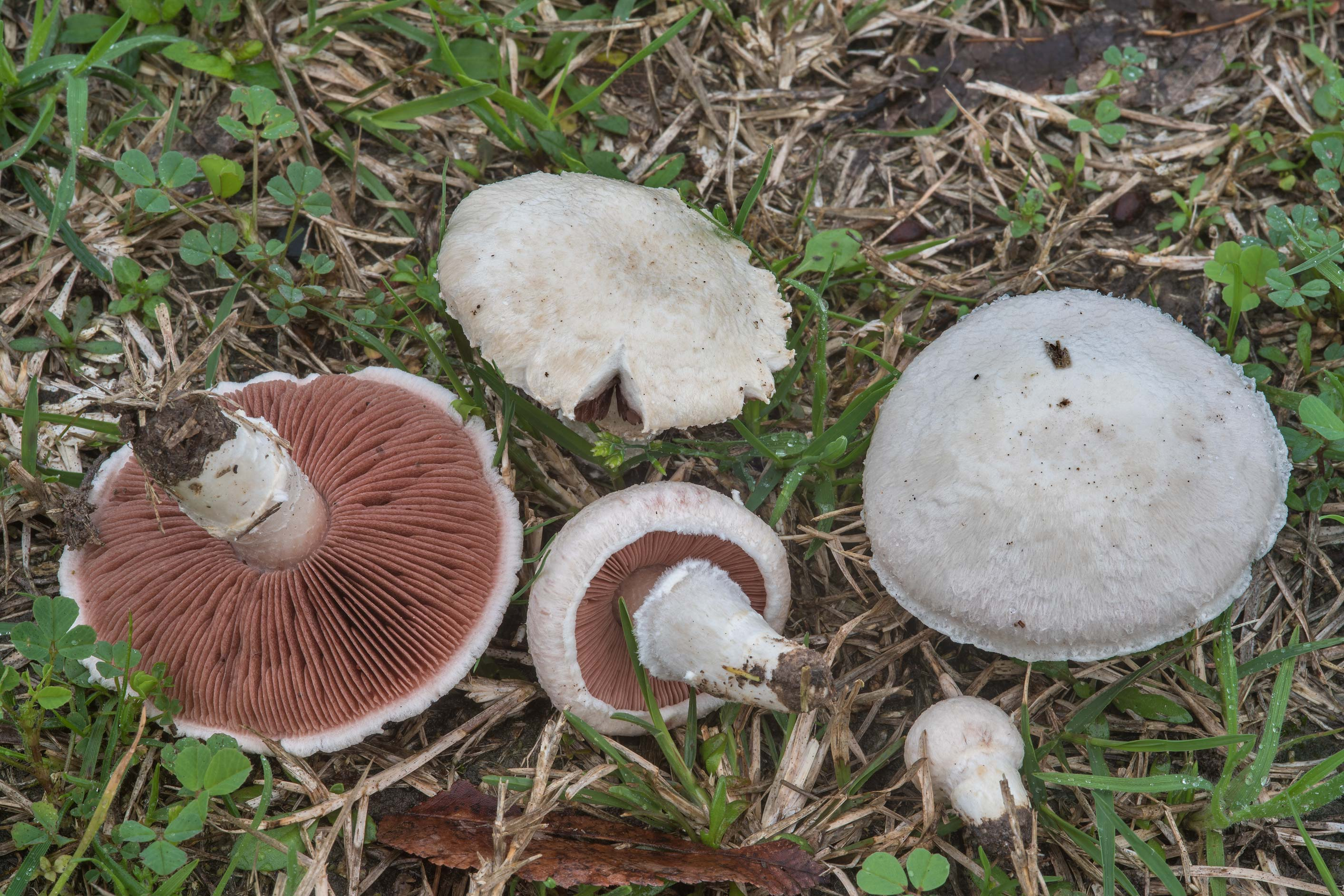 Meadow mushrooms (Agaricus campestris) in Hensel Park. College Station, Texas