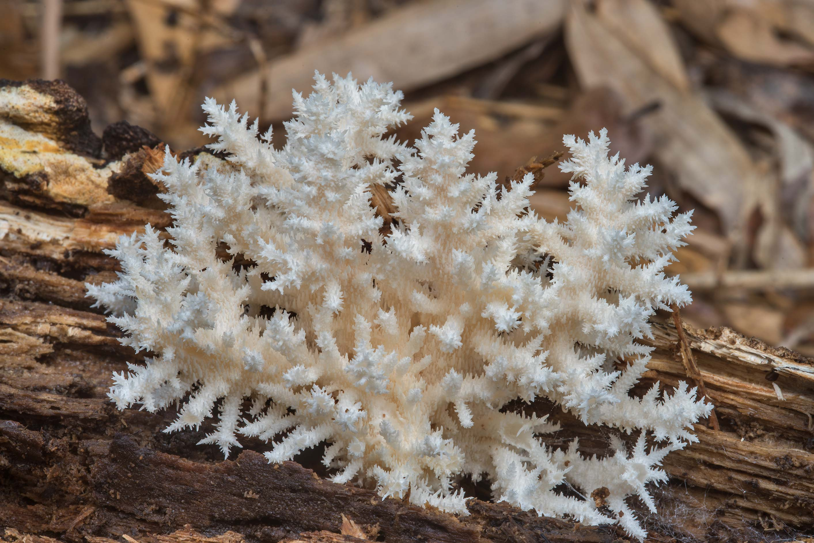 Coral tooth mushroom (Hericium coralloides) on a...in Hensel Park. College Station, Texas