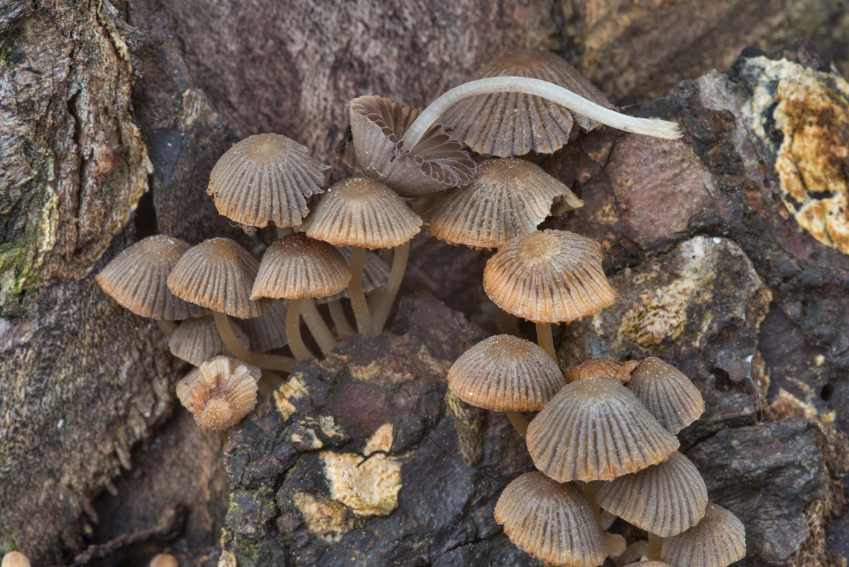 Fairy Bonnet mushrooms (Coprinellus disseminatus...Pen Creek Park. College Station, Texas