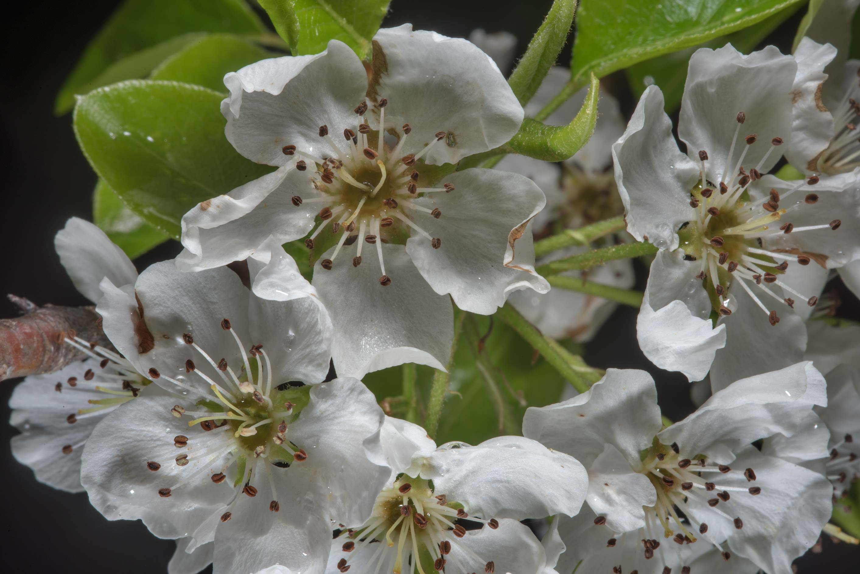Flowers of apple tree in Wolf Pen Creek Park. College Station, Texas