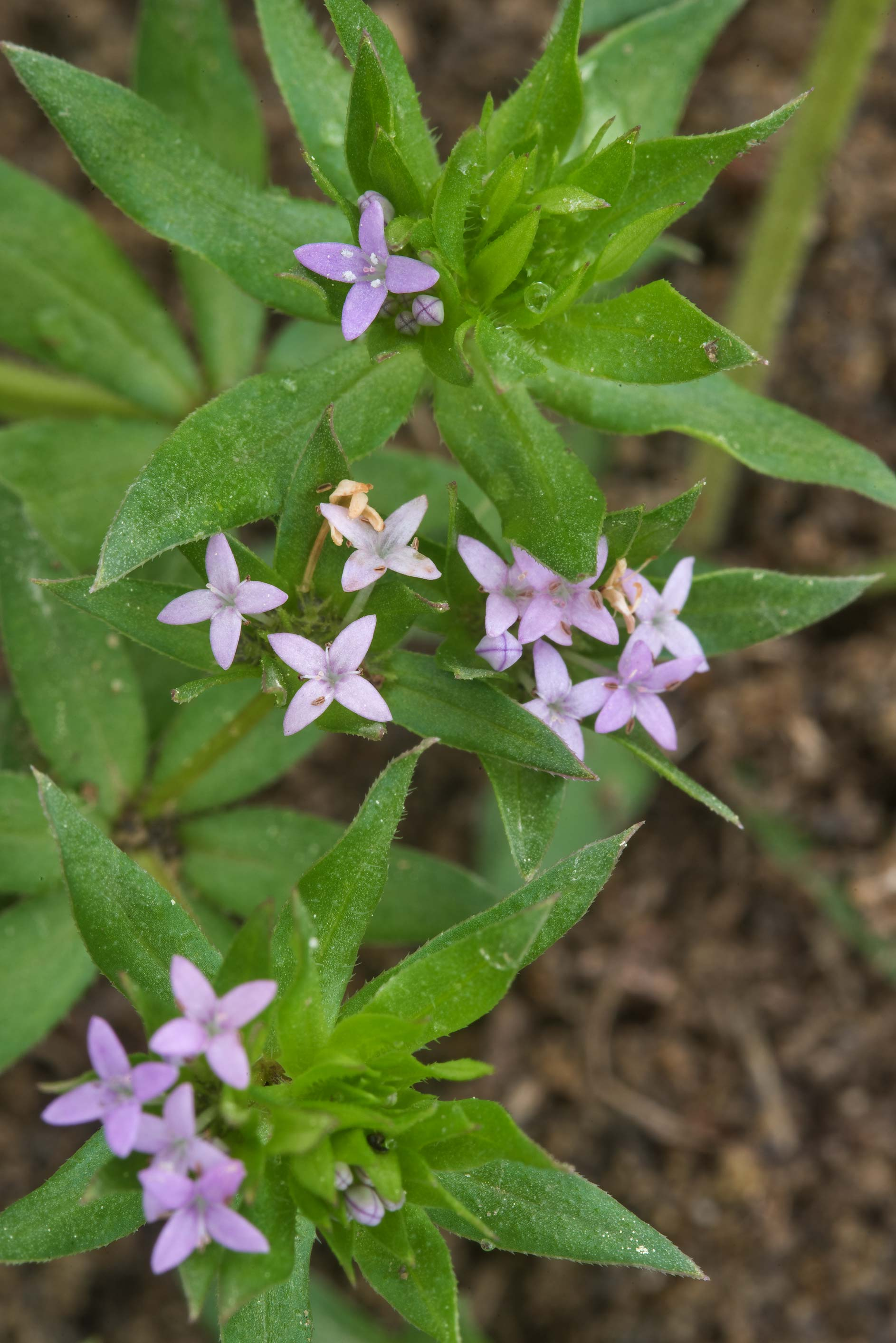 Flowers of blue field madder (spurwort, Sherardia...Pen Creek Park. College Station, Texas