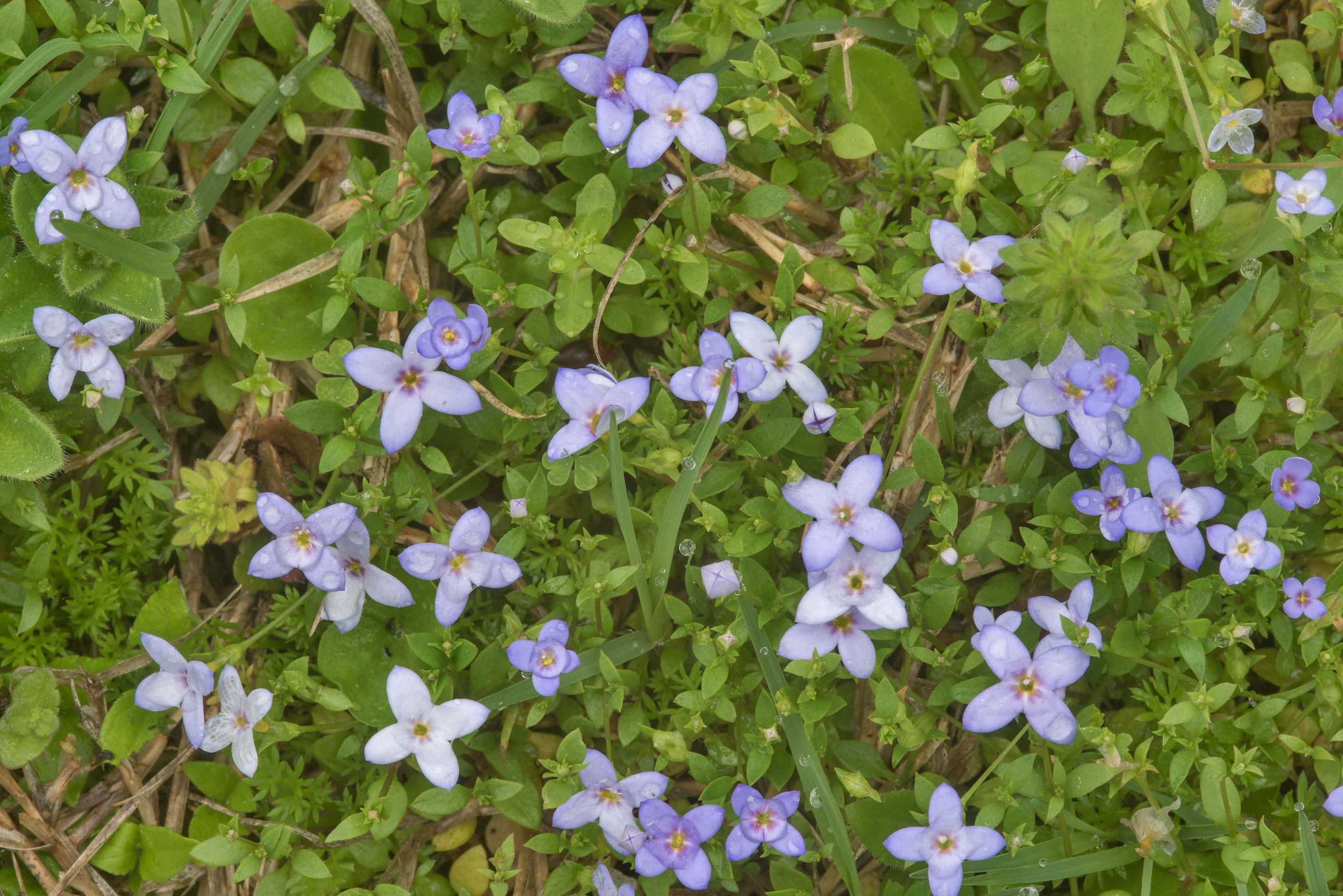 Blooming bluets (Star-violet, Hedyotis) in Wolf Pen Creek Park. College Station, Texas