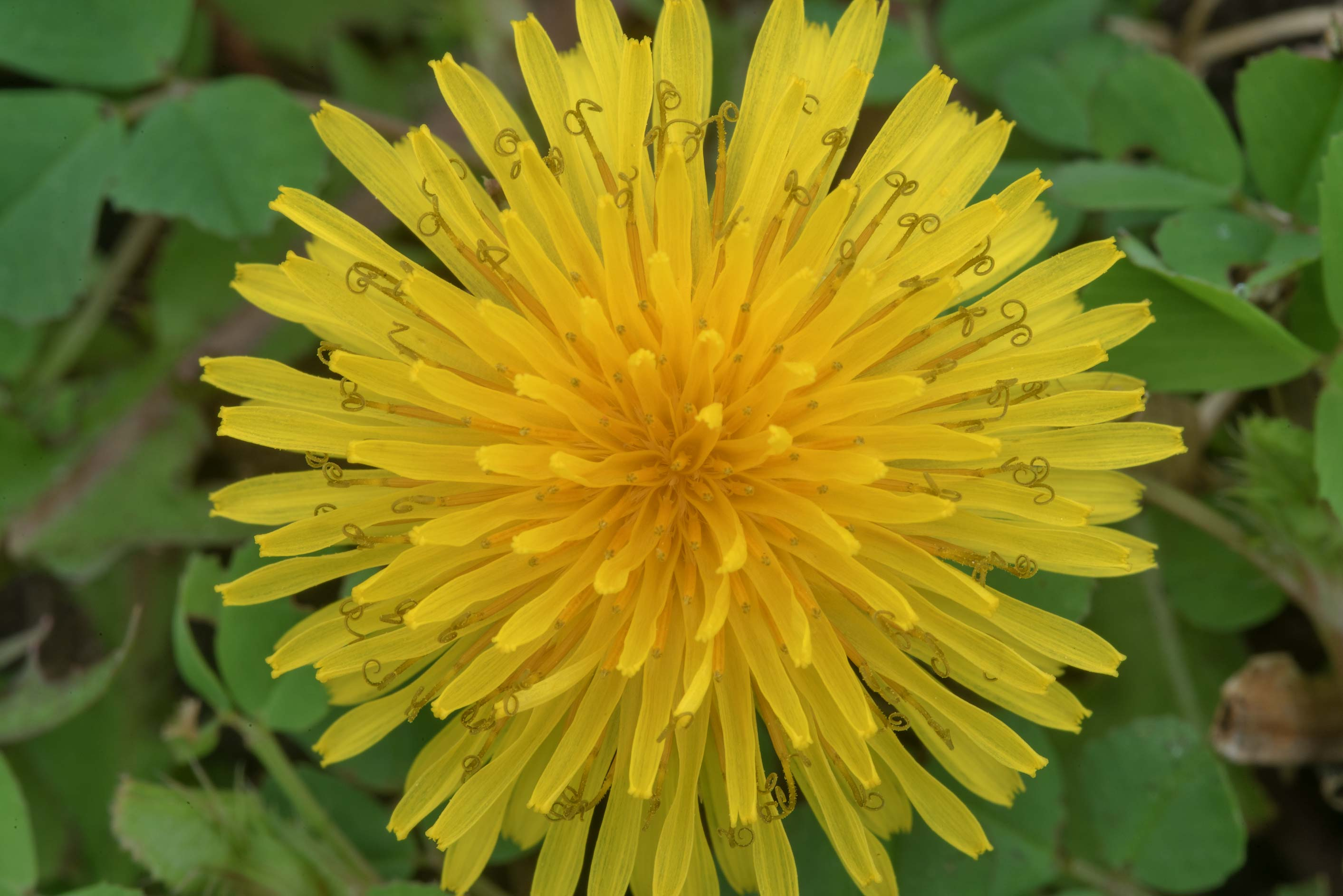 Common dandelion (Taraxacum officinale) in Wolf Pen Creek Park. College Station, Texas