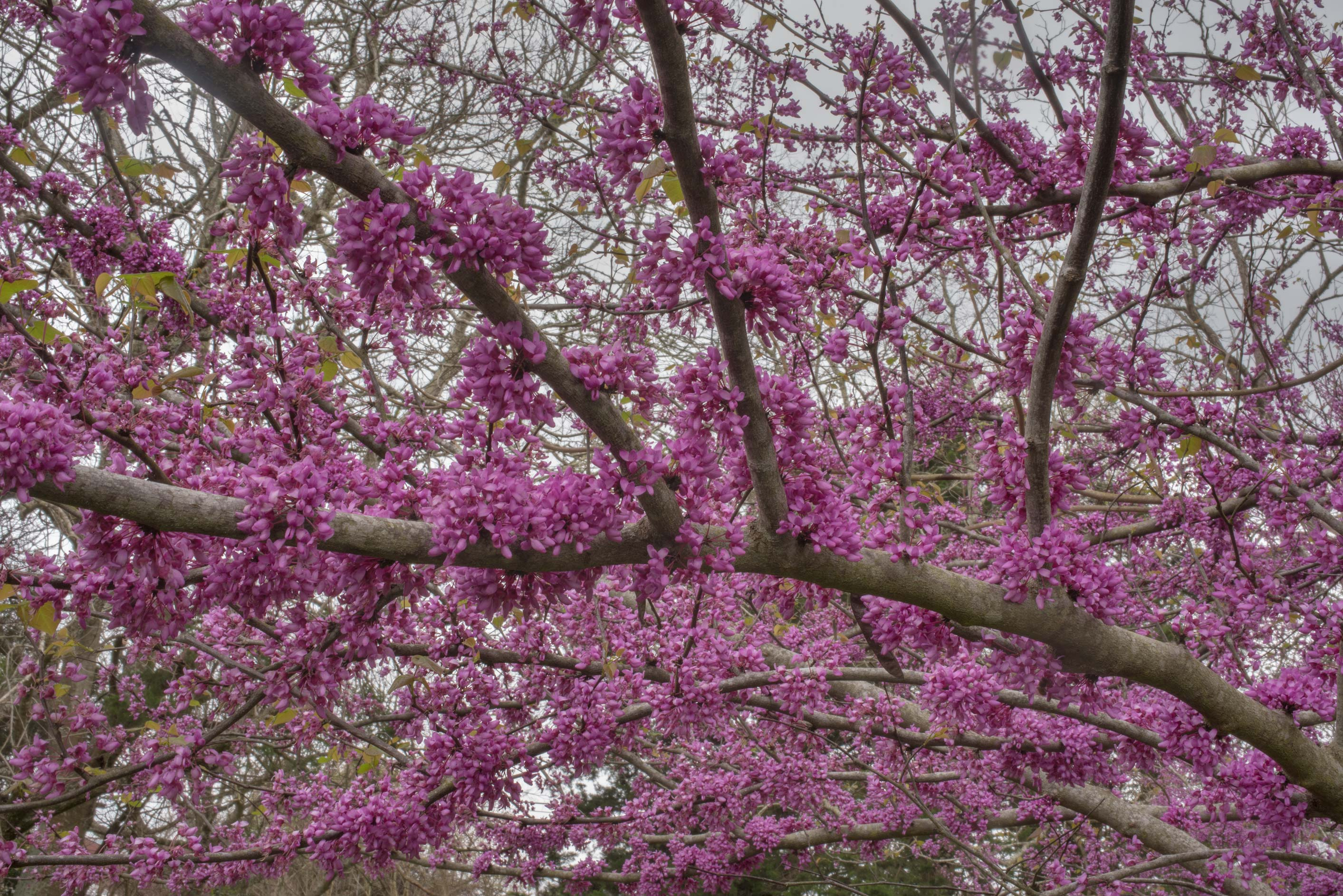 Redbud tree (Cercis canadensis) in Washington-on...State Historic Site. Washington, Texas