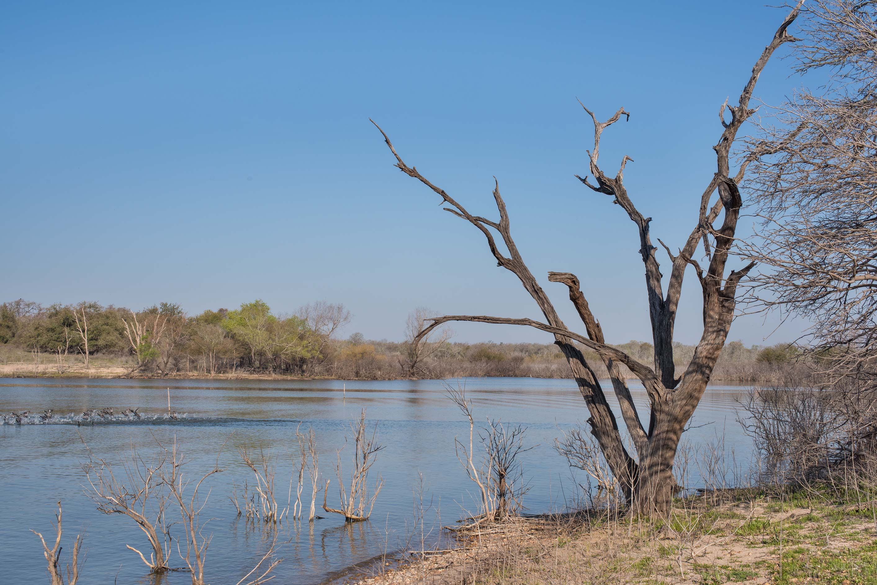 Dry tree on the lake shore near a road along...Unit Somerville Lake State Park. Texas