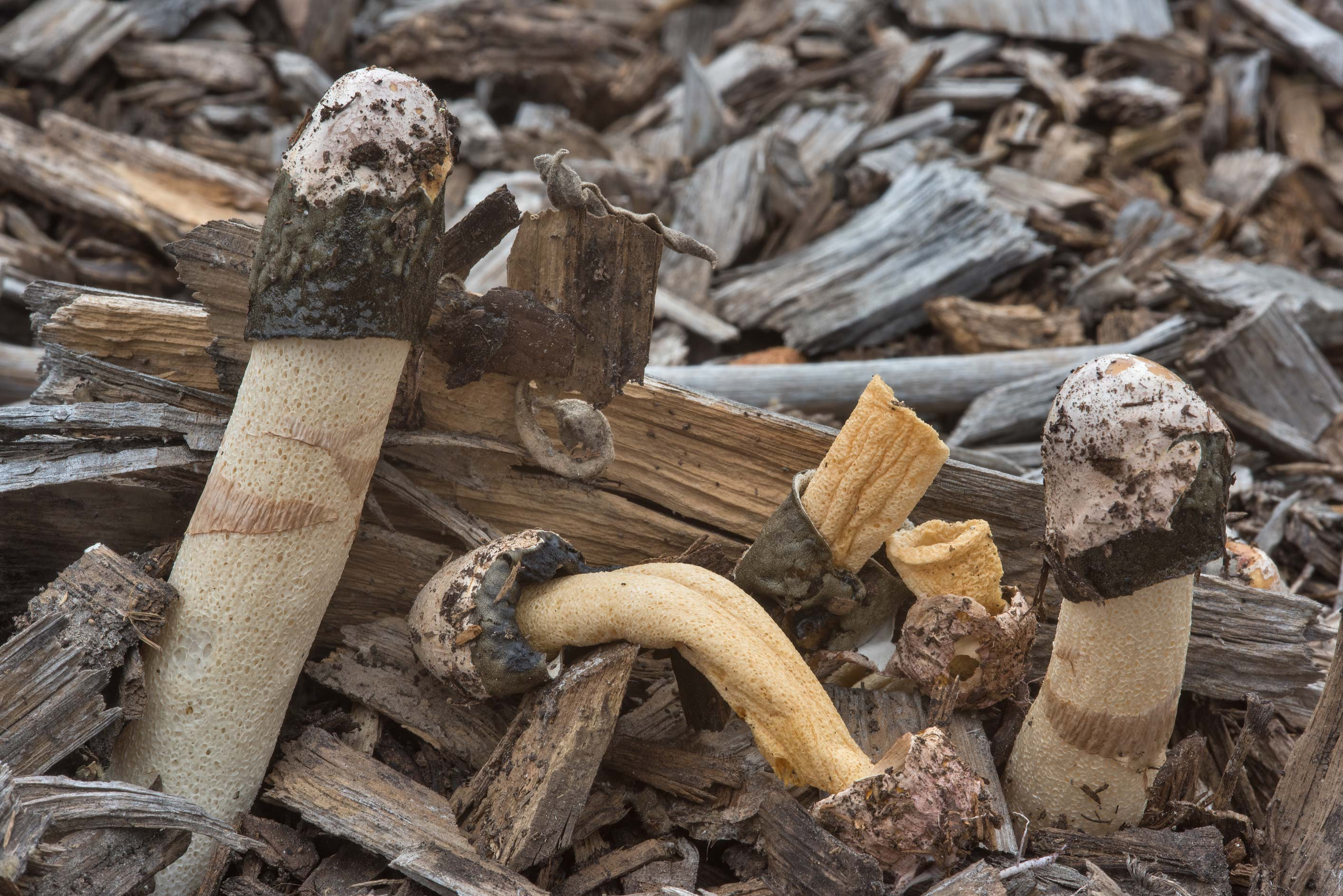 Common stinkhorn mushrooms (Phallus impudicus...in Bastrop State Park. Bastrop, Texas