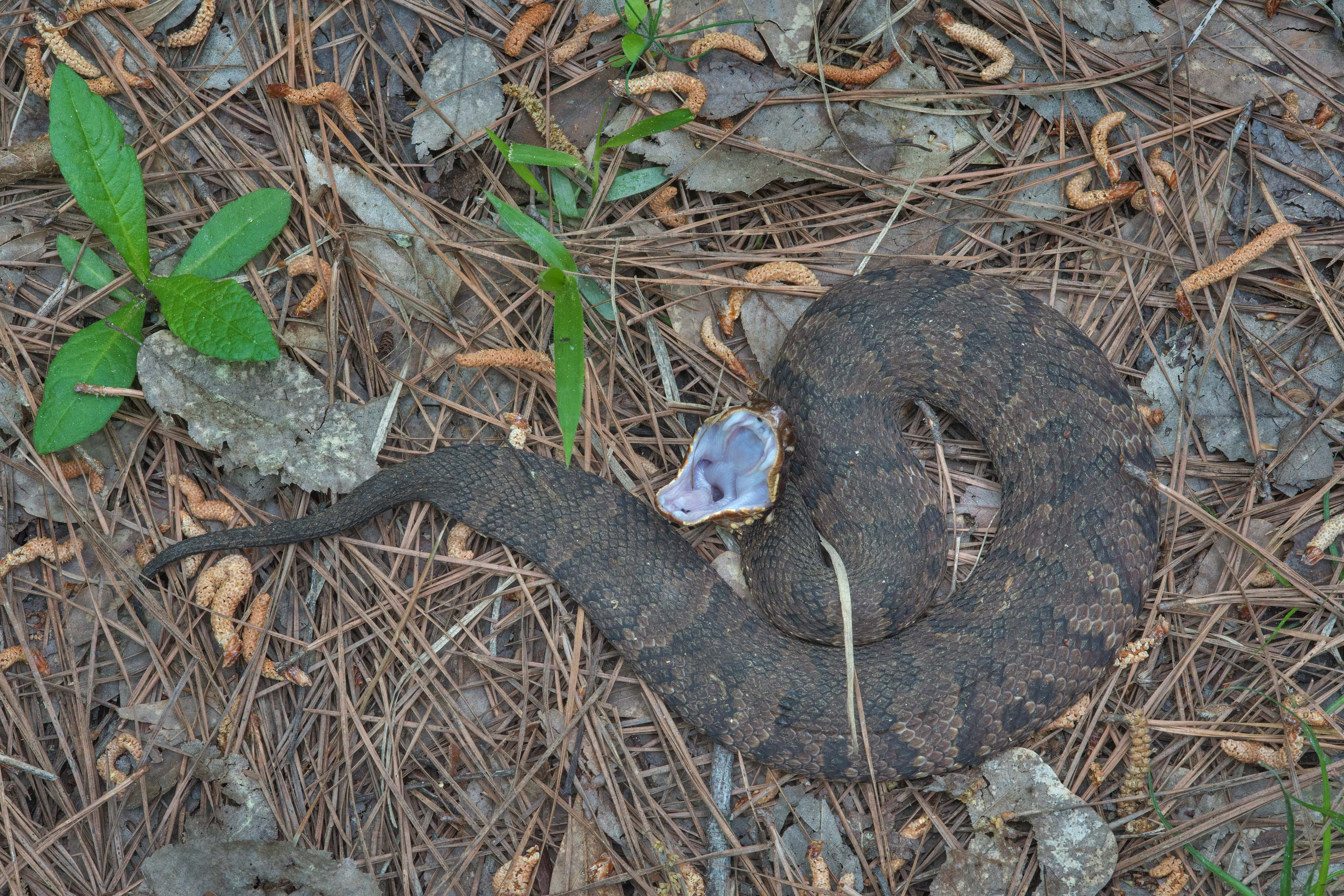 Water Moccasin snake displaying cottonmouth...National Forest near Huntsville, Texas