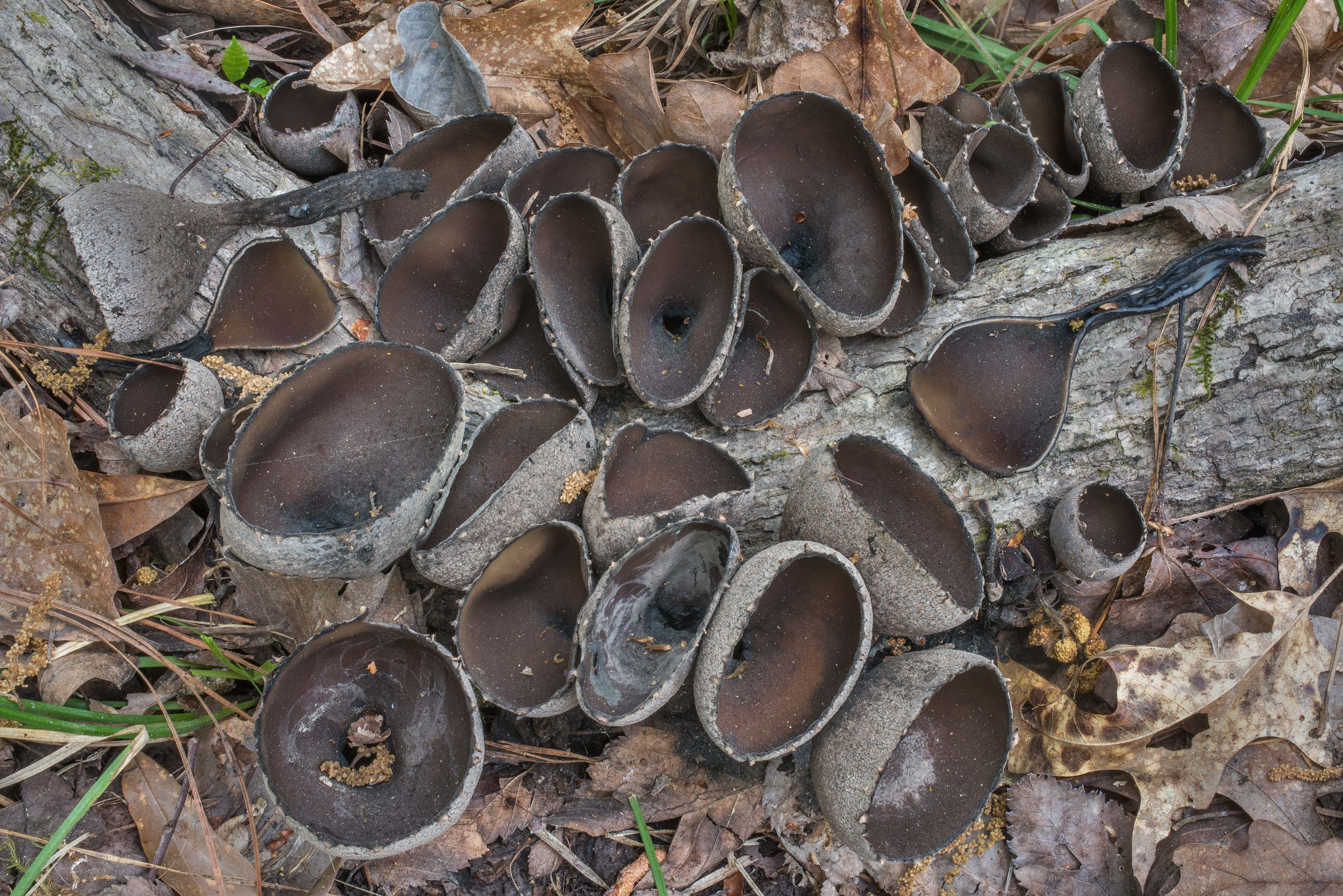 The Devil's Urn mushrooms (Urnula craterium) on a...National Forest near Huntsville, Texas