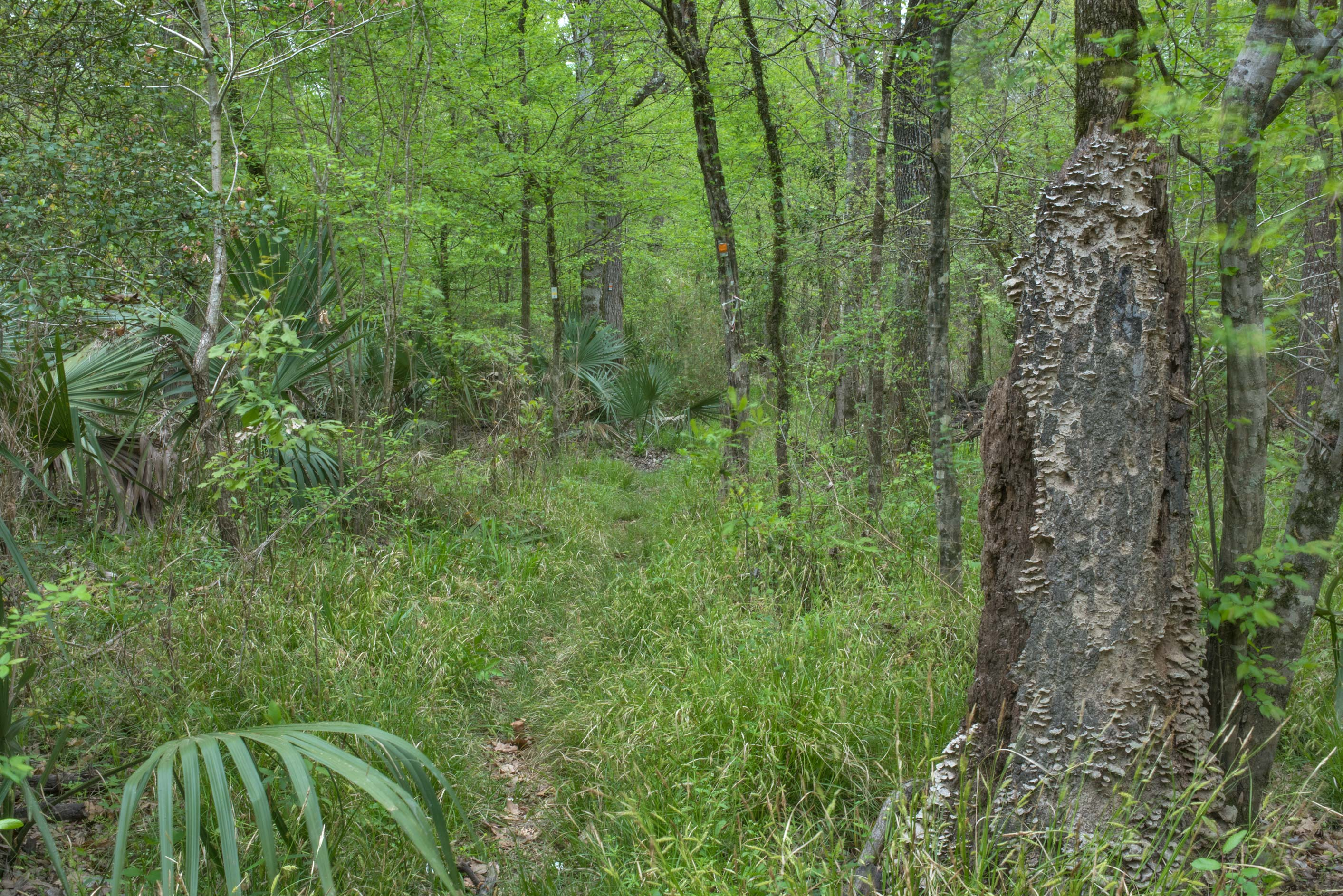 Overgrown trail on Caney Creek section of Lone...National Forest near Huntsville, Texas