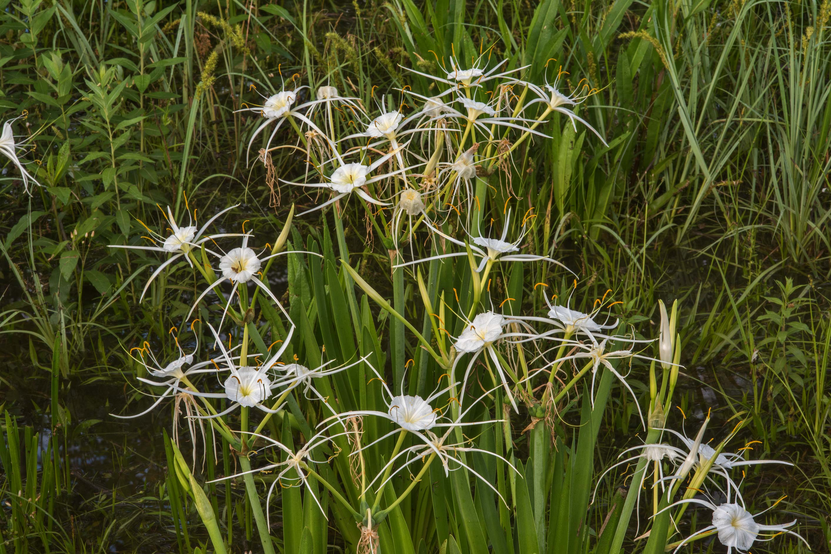 Spider lily (Hymenocallis) in swampy area near Rd...north-east from College Station, Texas