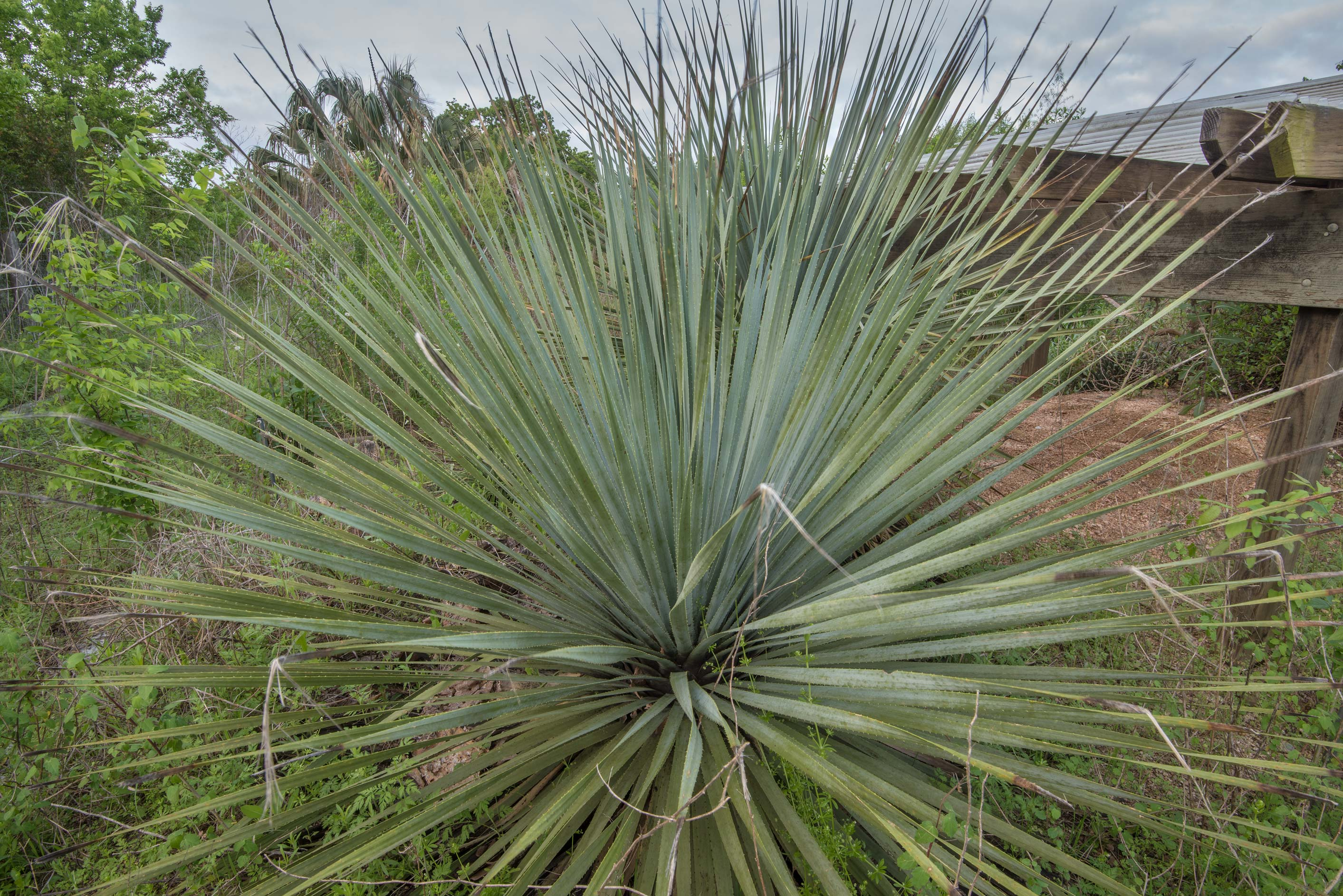 Spiny evergreen plant sotol (Dasylirion) in TAMU...M University. College Station, Texas