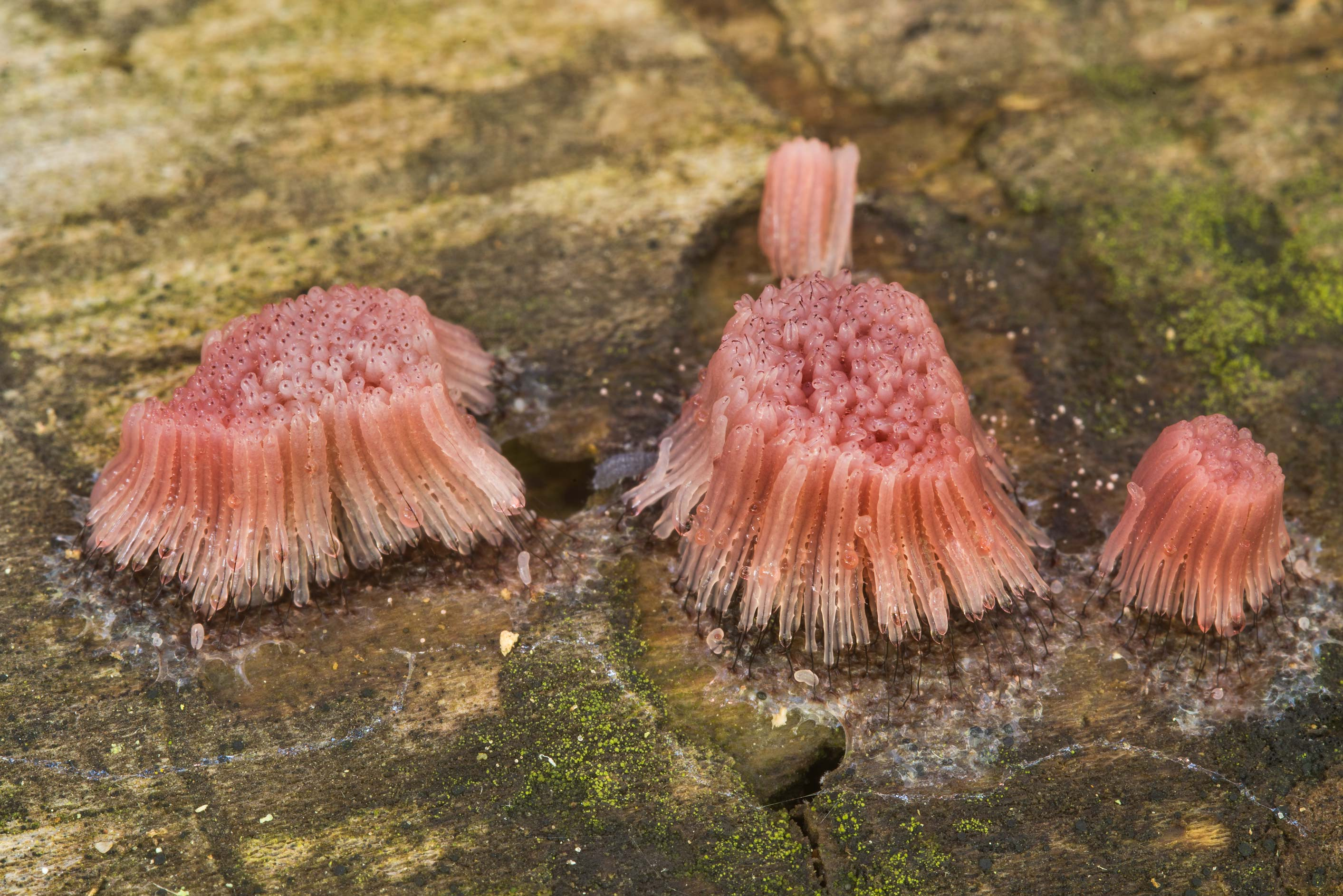Sporangia of slime mold Stemonitis fusca on a log...Creek Park. College Station, Texas
