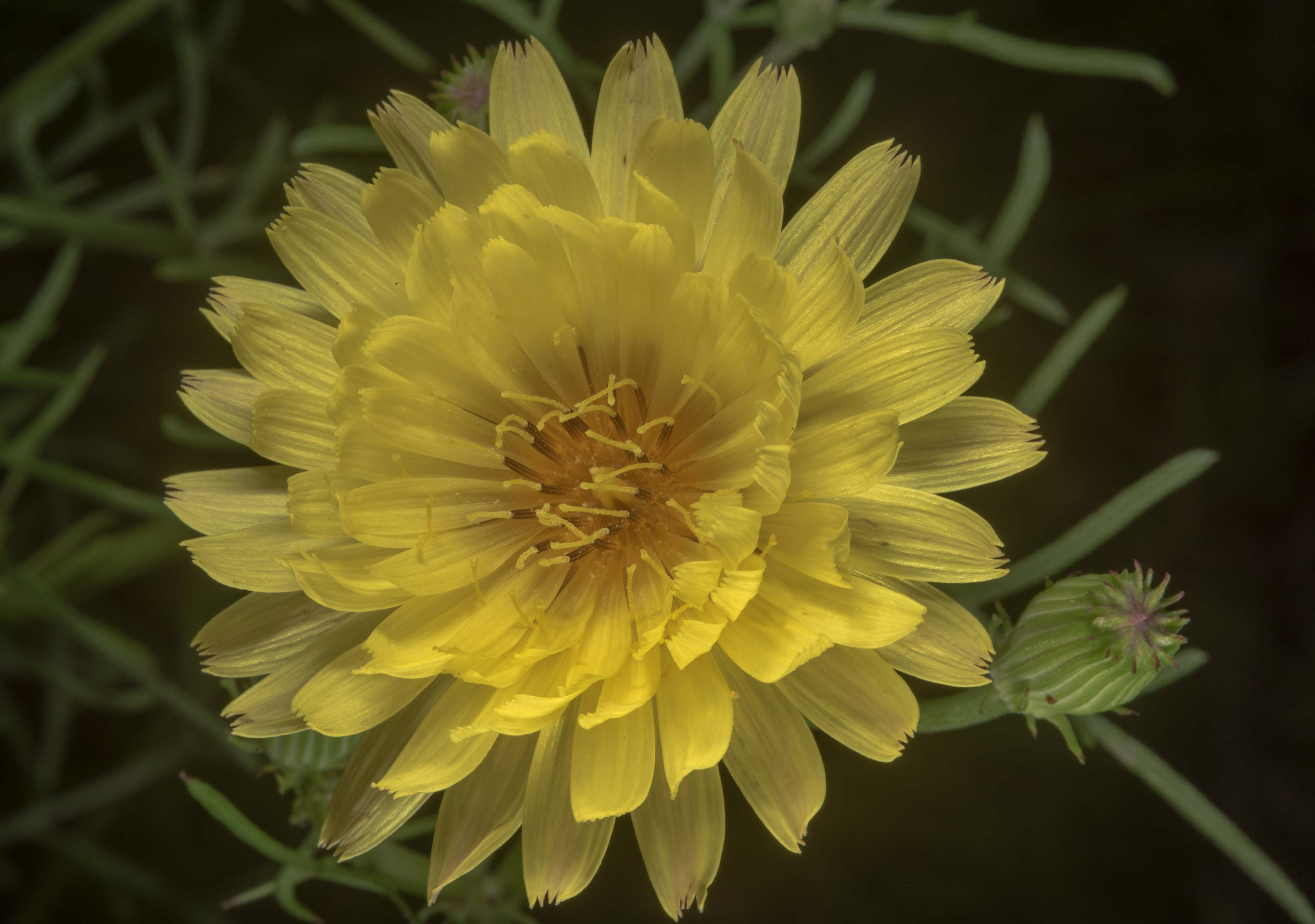 Yellow flower of false dandelion (Pyrrhopappus...State Historic Site. Washington, Texas