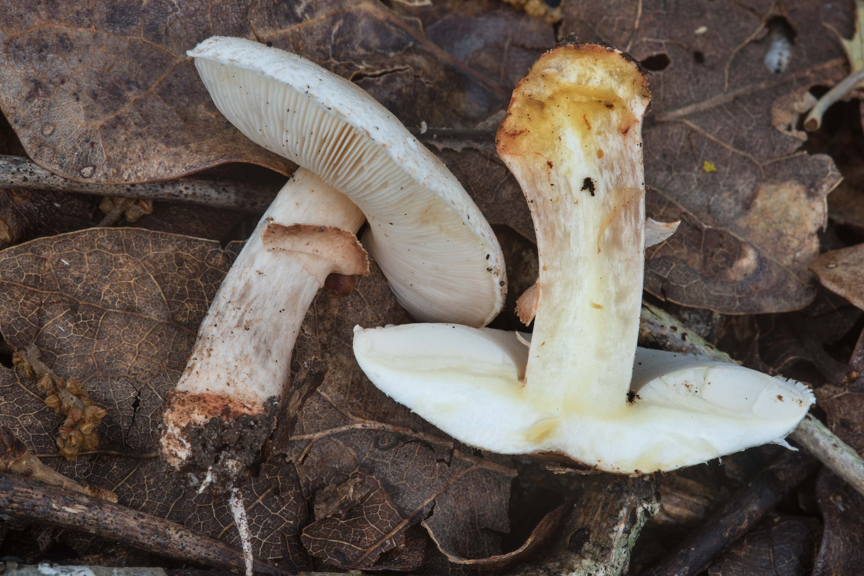Dissected Amanita mushroom in Hensel Park. College Station, Texas