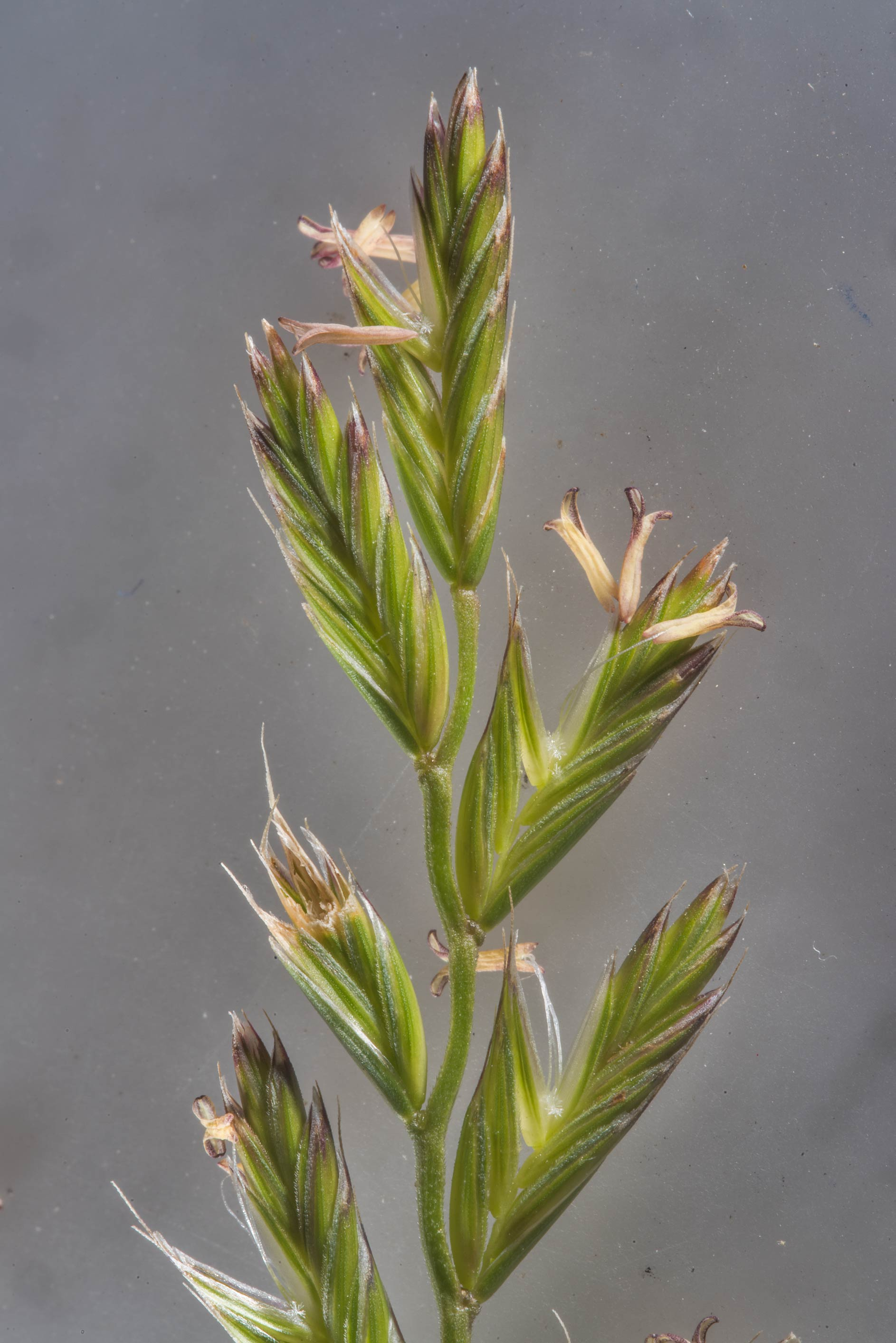 Spikelet of perennial ryegrass (Lolium perenne...State Historic Site. Washington, Texas