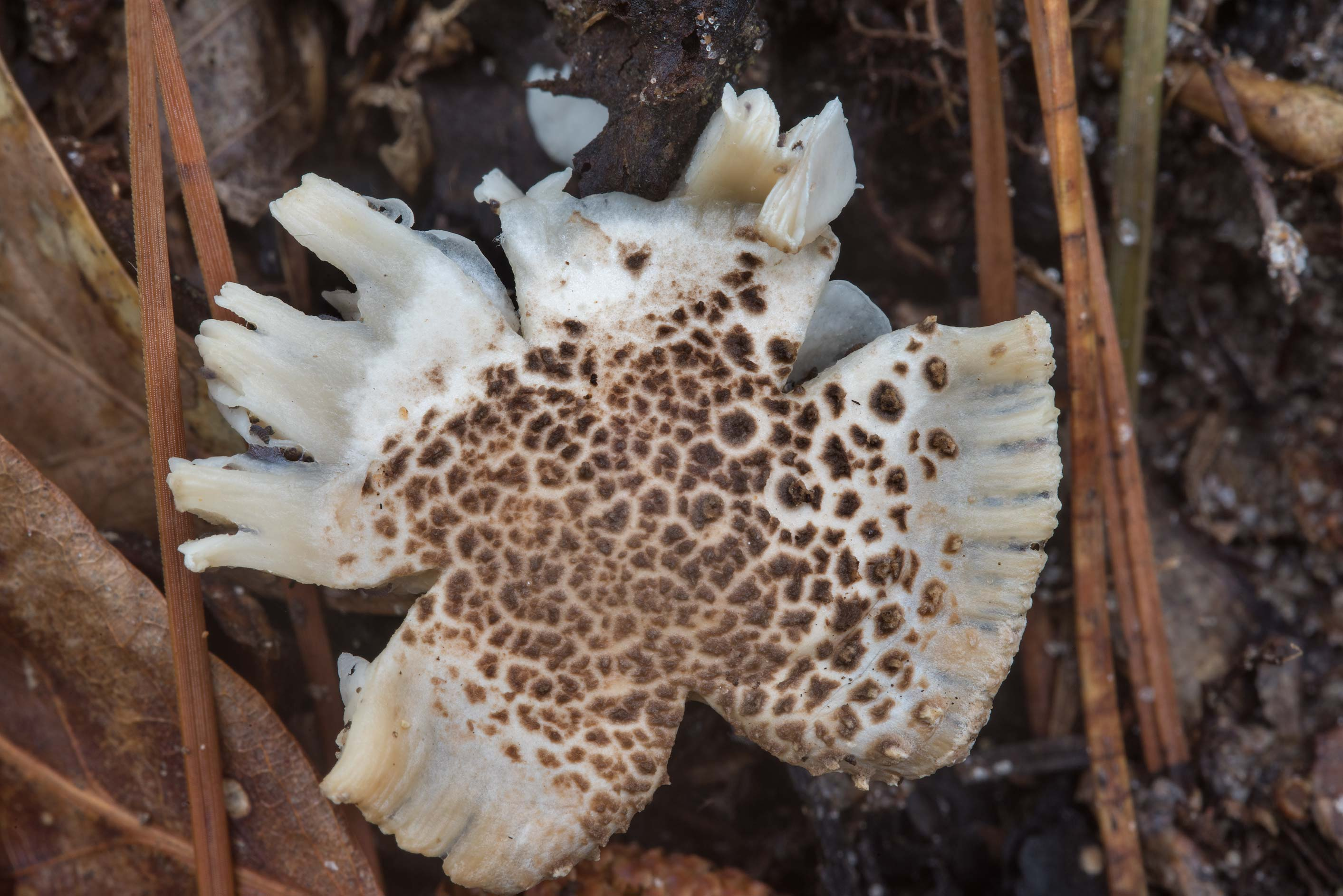 Amanita hesleri mushroom eaten by insects like...National Forest near Huntsville, Texas