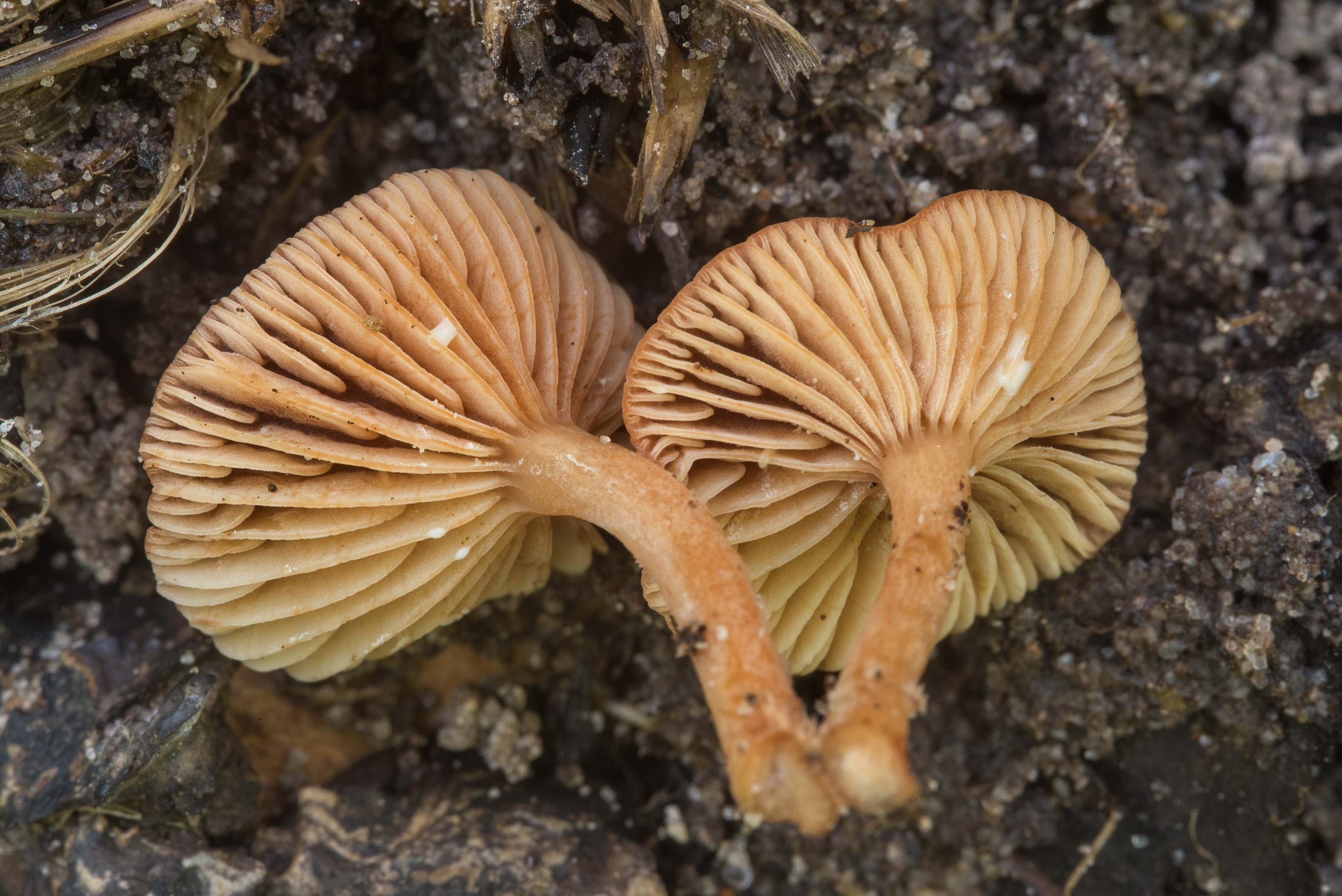 Close up of small milkcap mushrooms Lactarius...National Forest near Huntsville, Texas
