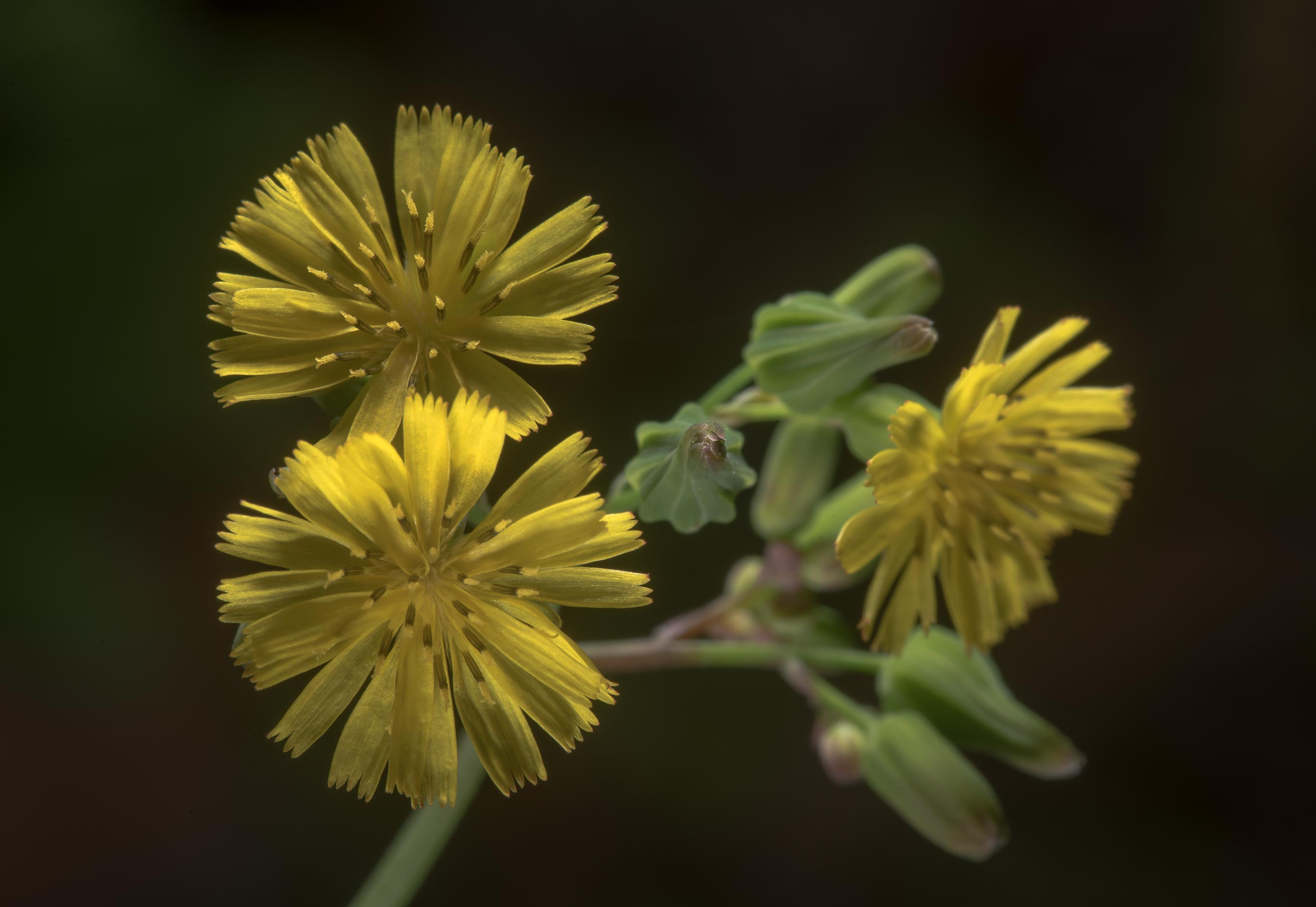 Some small hawkweed flowers in Mercer Arboretum...Gardens. Humble (Houston area), Texas