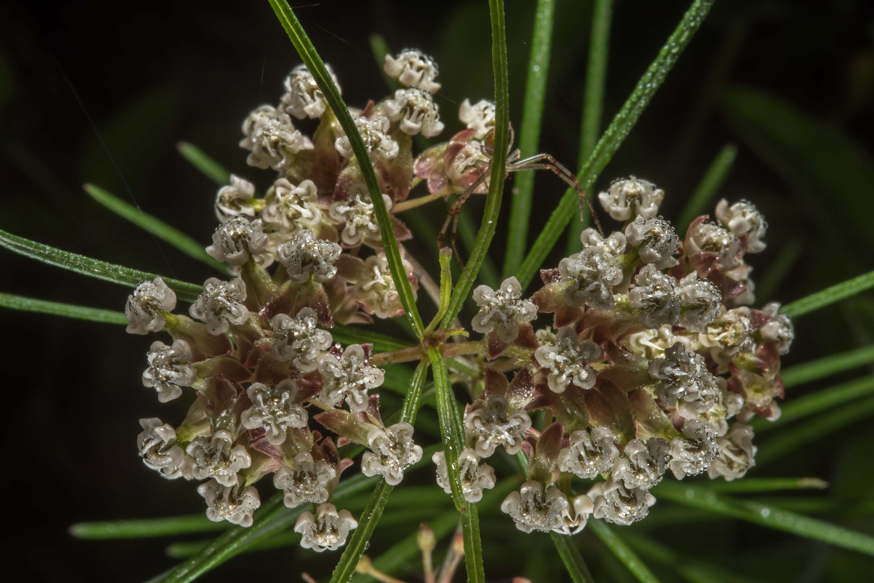 Flowers of whorled milkweed (Asclepias...of Somerville Lake State Park. Texas