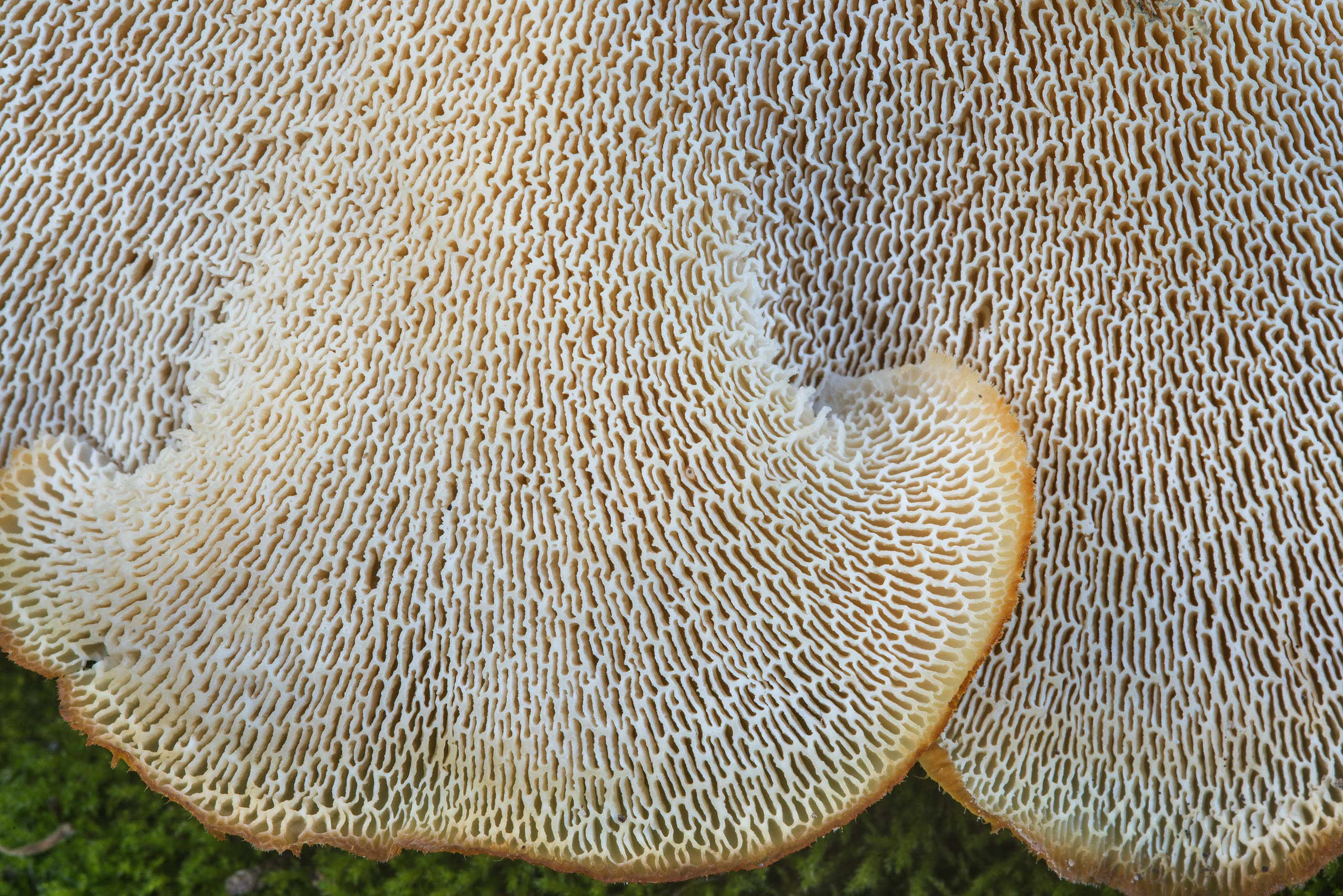 Underside of tropical white polypore mushrooms...Nature Trail. College Station, Texas