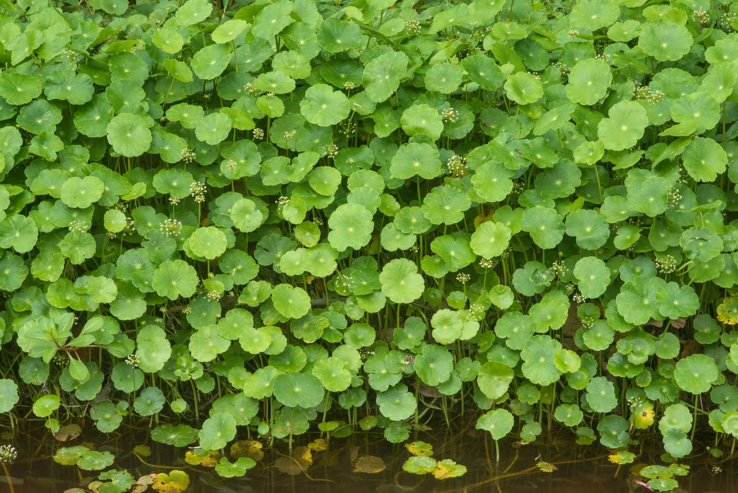Leaves of common pennywort (Hydrocotyle umbellata...Bee Creek Park. College Station, Texas